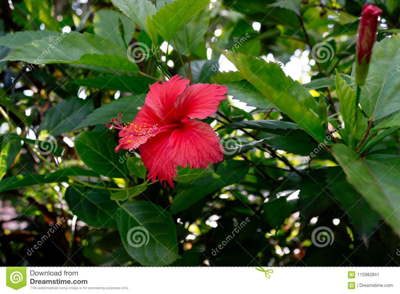 Sri Lanka National Flowers The Red Shoe Flower Or Hibiscus Rosa