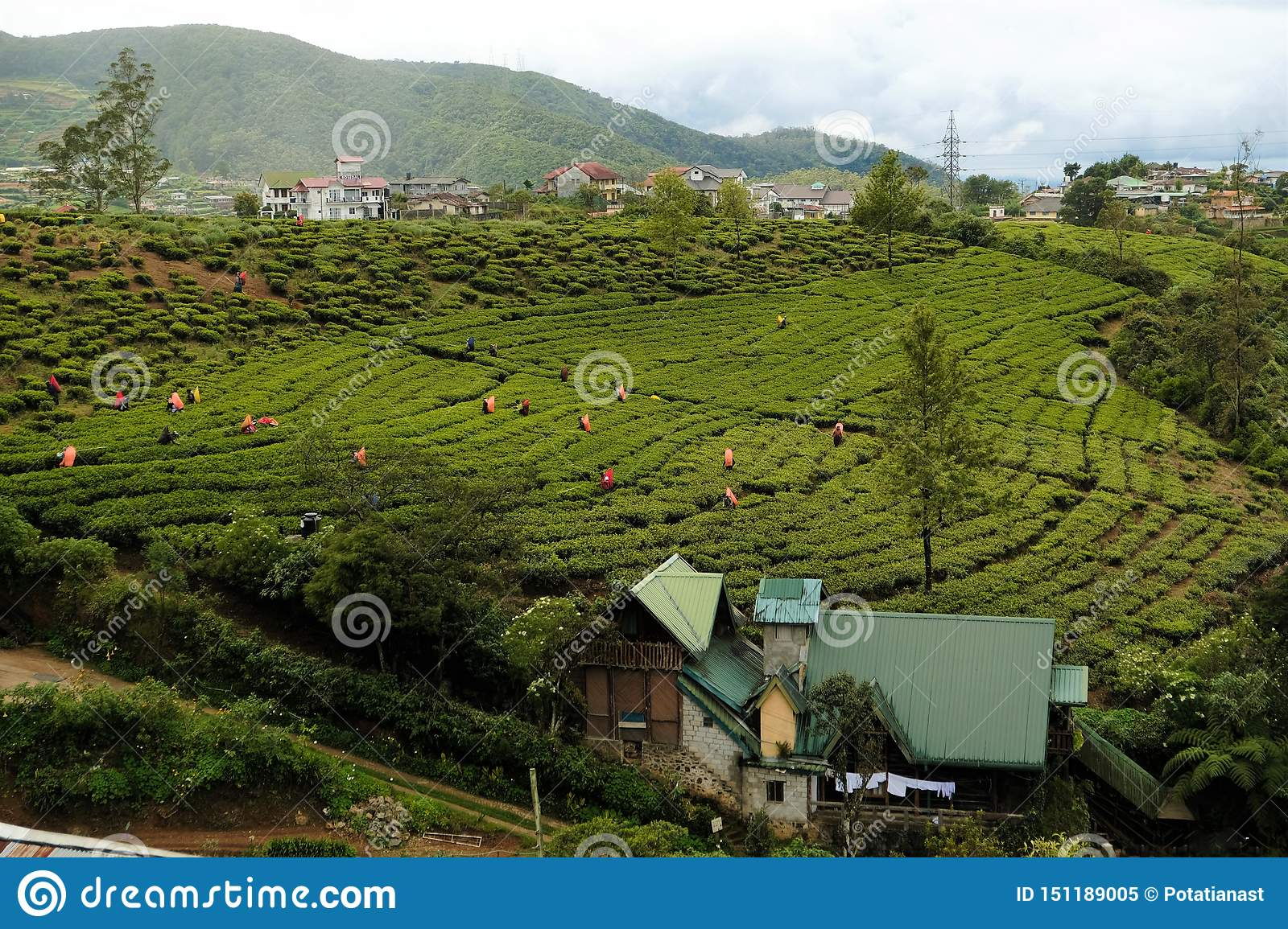 Sri Lanka`s famous blue tea plantations workers