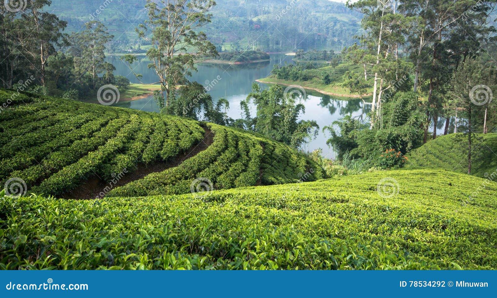 Sri Lanka& x27; s herbaty nieruchomości