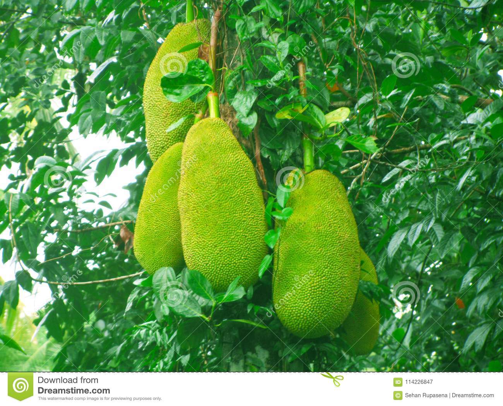 Sri Lankan Jack Country Food Fruit Vegetable Stock Image Image