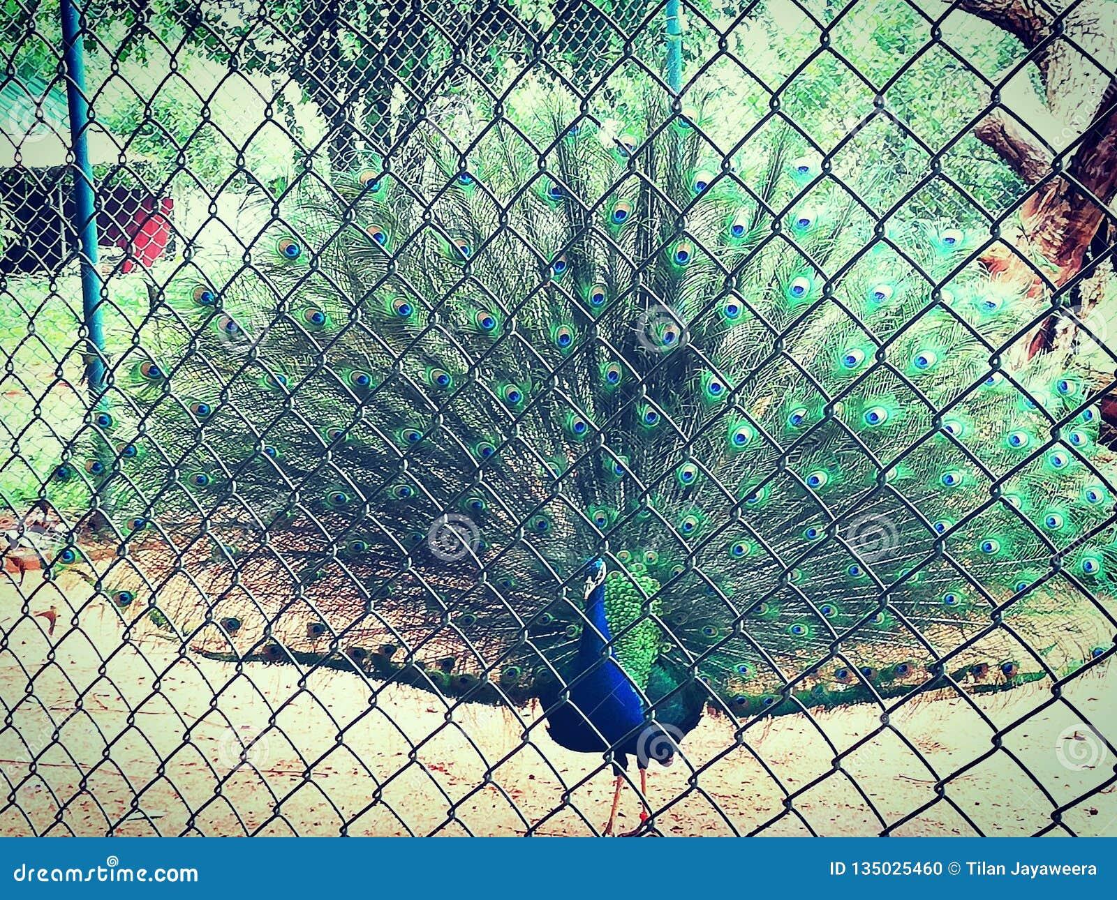 Srilankan peacock