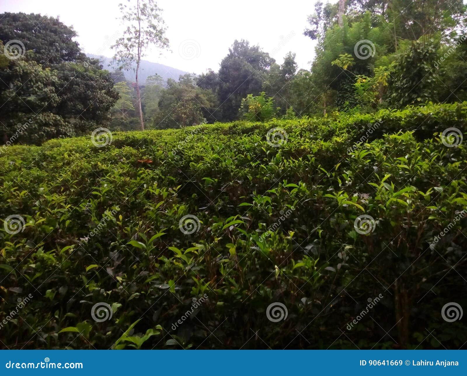 Srilankan tea