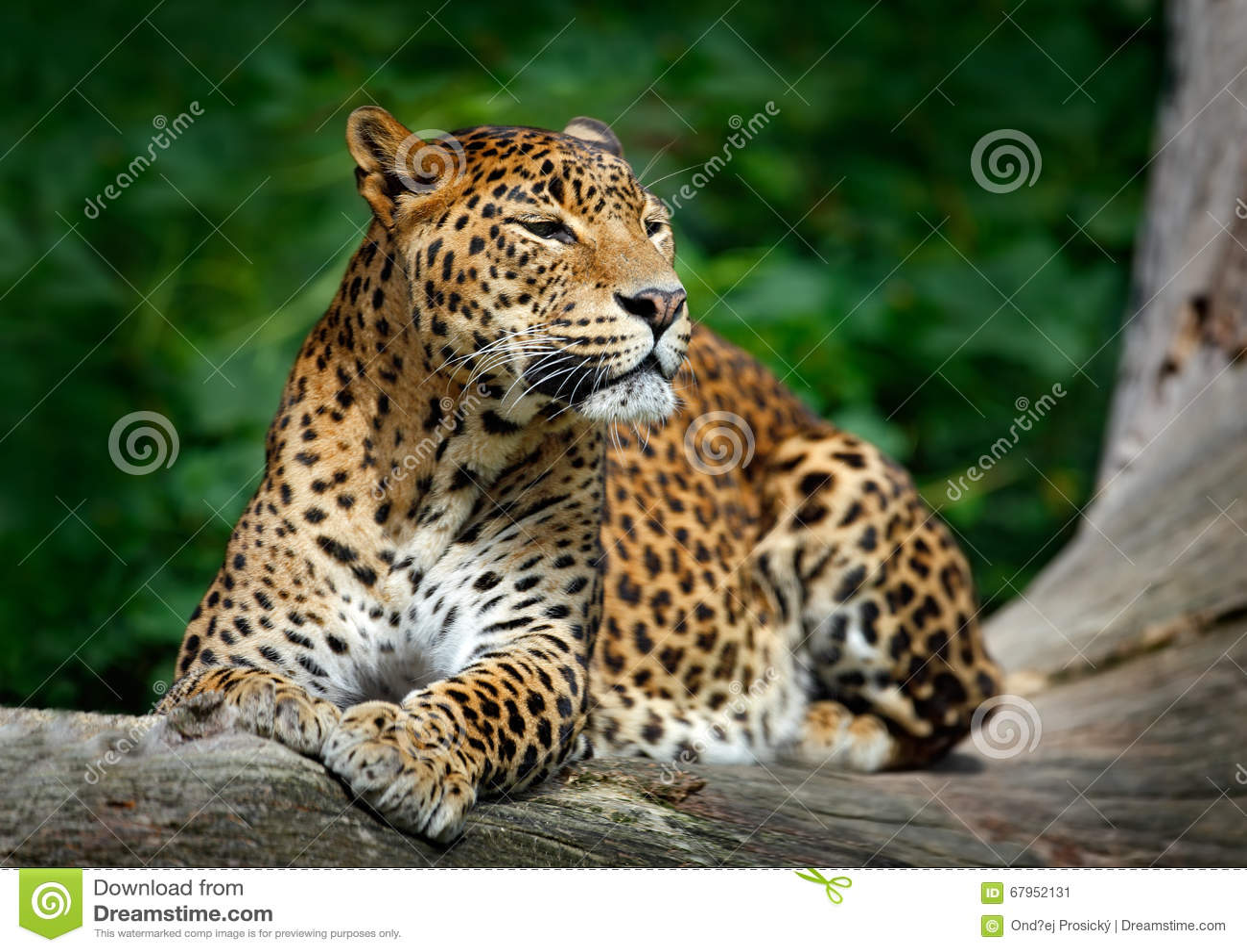 Srilankesisk leopard, Pantheraparduskotiya, stor prickig katt som ligger på trädet i naturlivsmiljön, Yala nationalpark, Sri Lank