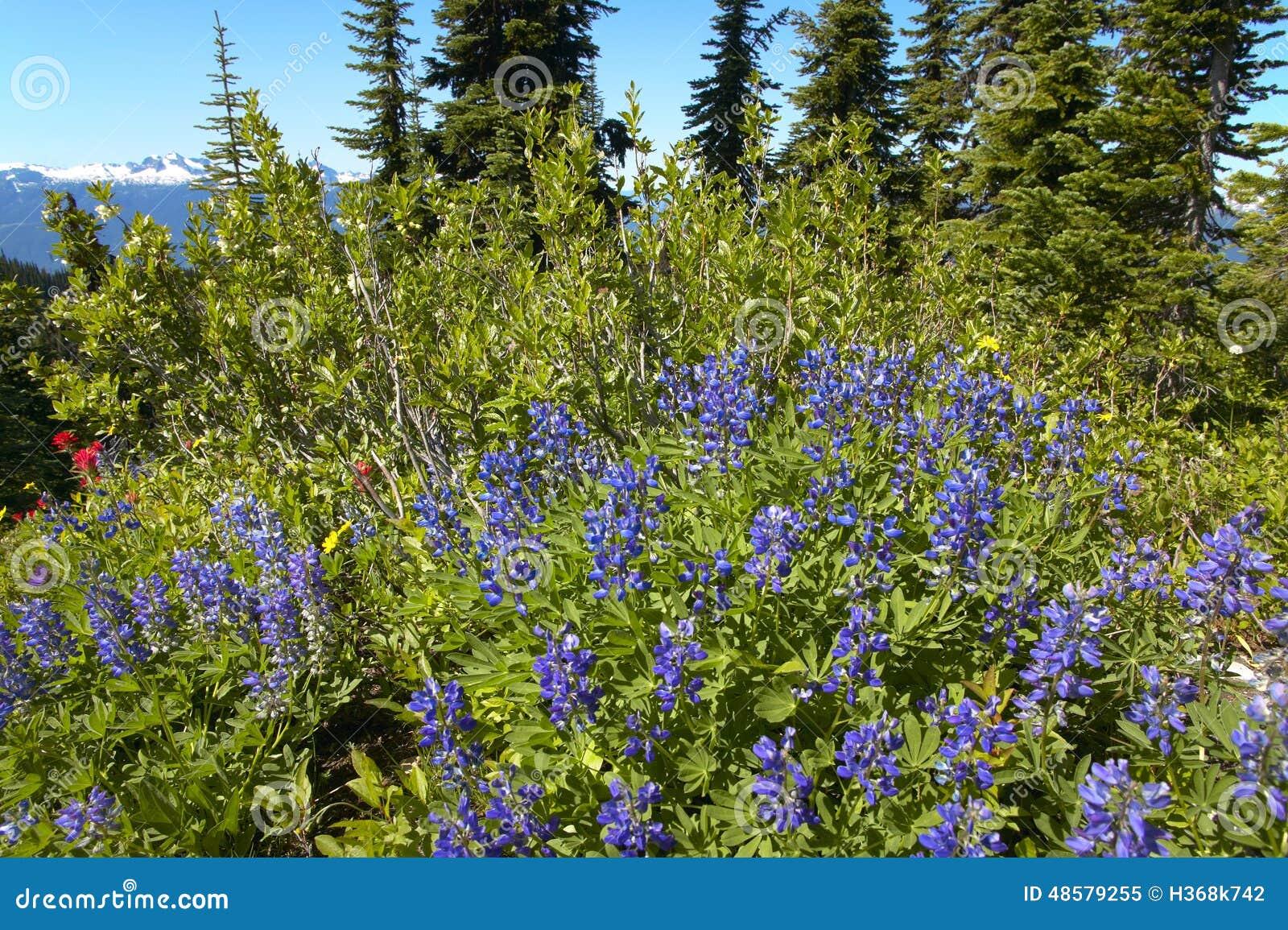 Sringtime花在Bristish哥伦比亚 登上Revelstoke 加拿大