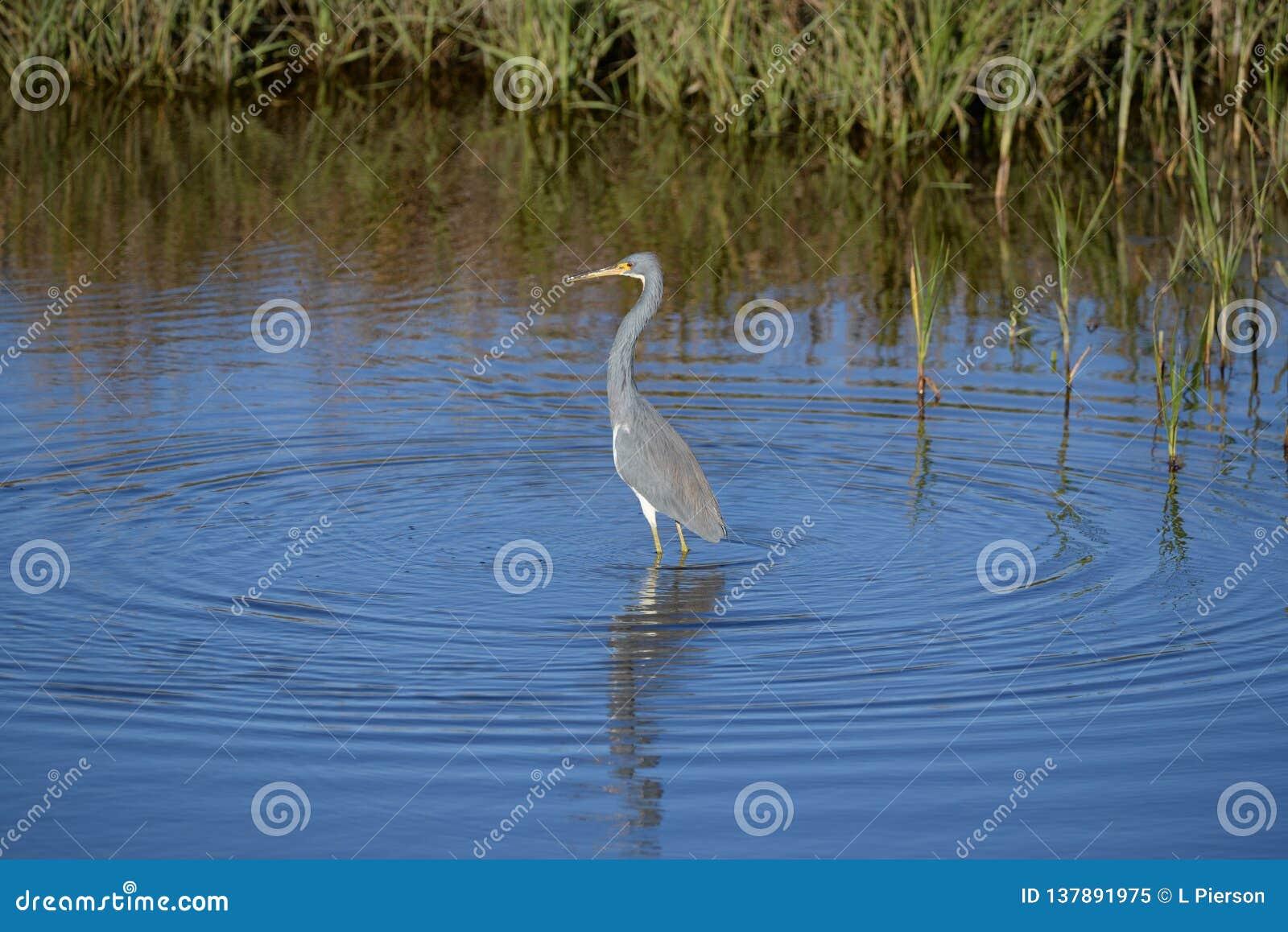 Sstrikes de la garza de Tricolored una actitud mientras que pesca en el pantano de la isla
