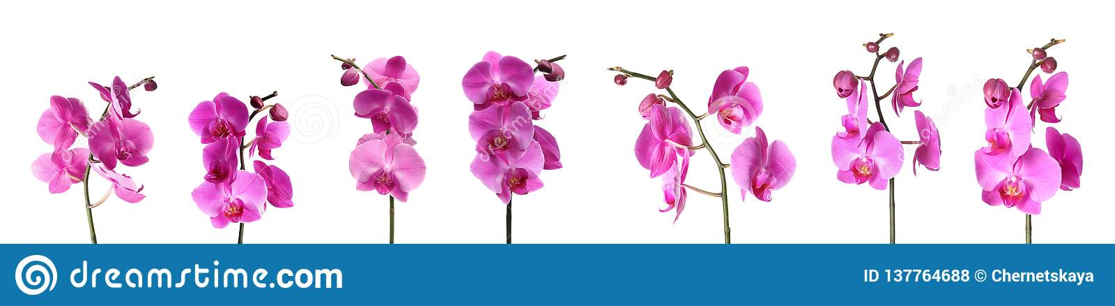 Ställ in av härliga purpurfärgade orkidéphalaenopsisblommor