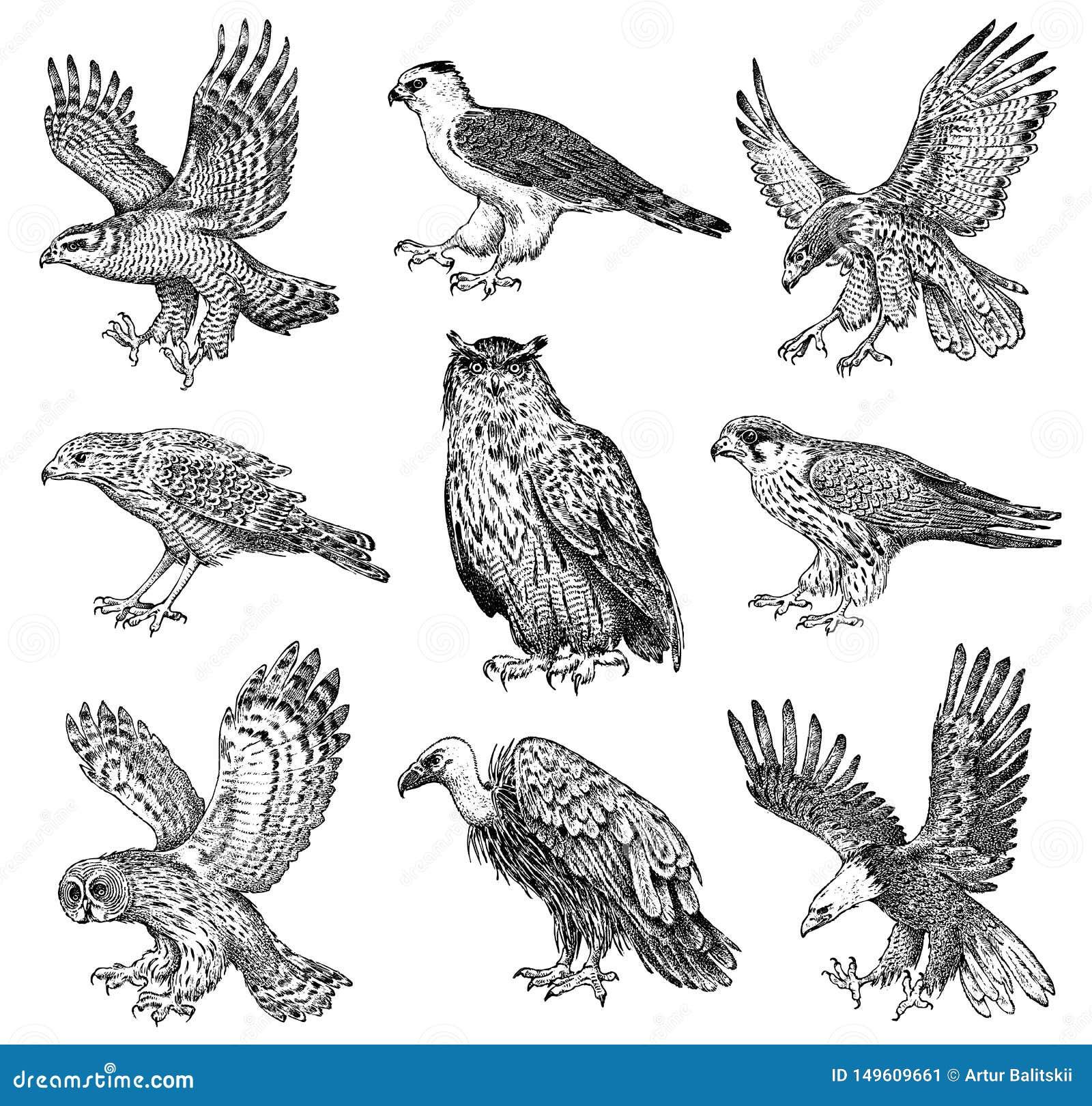 Ställ in av realistiska fåglar Goshawk-, Griffon gam, glåmig engelsk harhund, svart drake, uggla och örn Skissar den utdragna vek