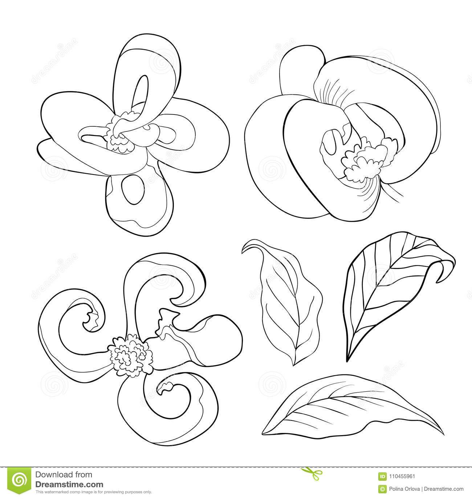 Ställ in färgläggning med illustrationen för vektorn för den Florida skogskornellblomman