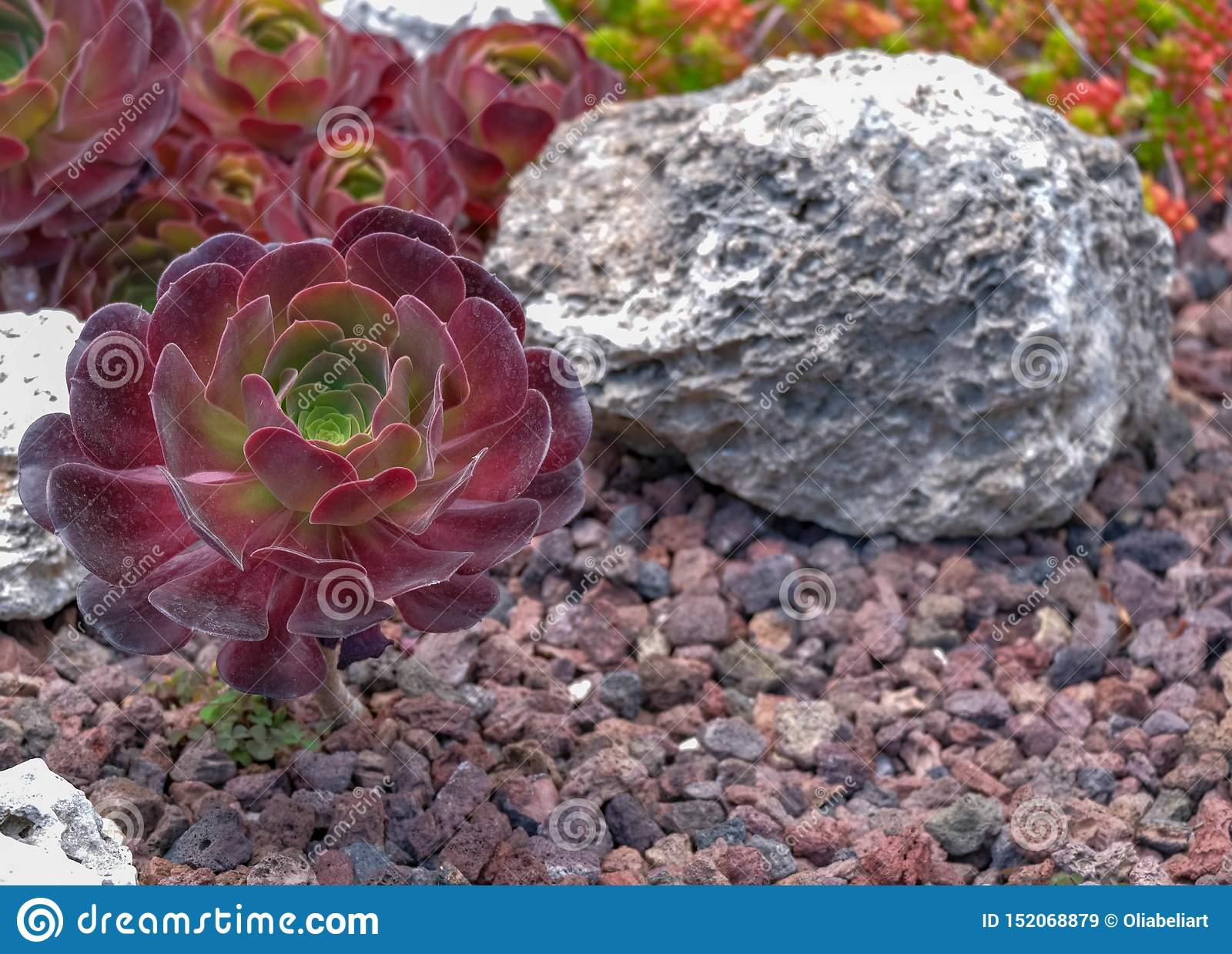 Stäng sig upp av Aeonium eller trädhouseleeksna på vulkanisk bakgrund