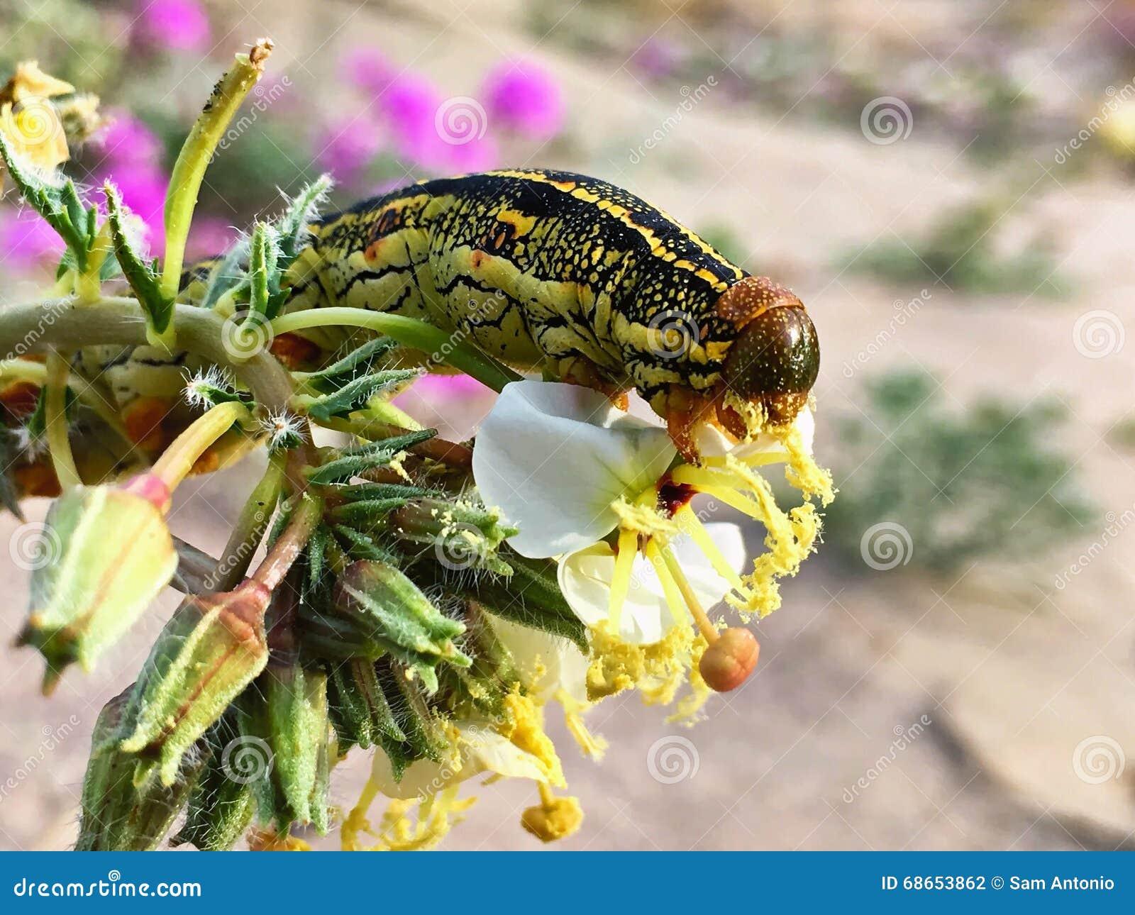 Stäng sig upp av Caterpillar som äter en ökenvildblomma