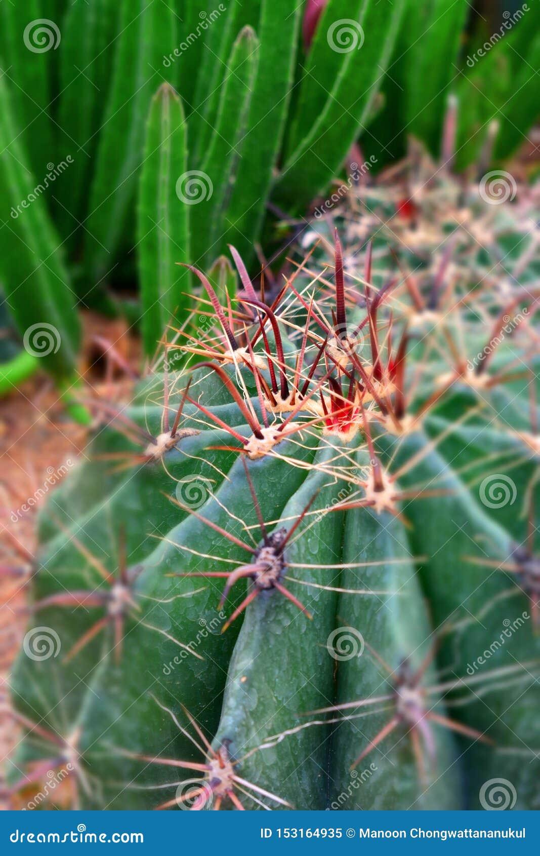 Stäng sig upp av den jätte- kaktuns