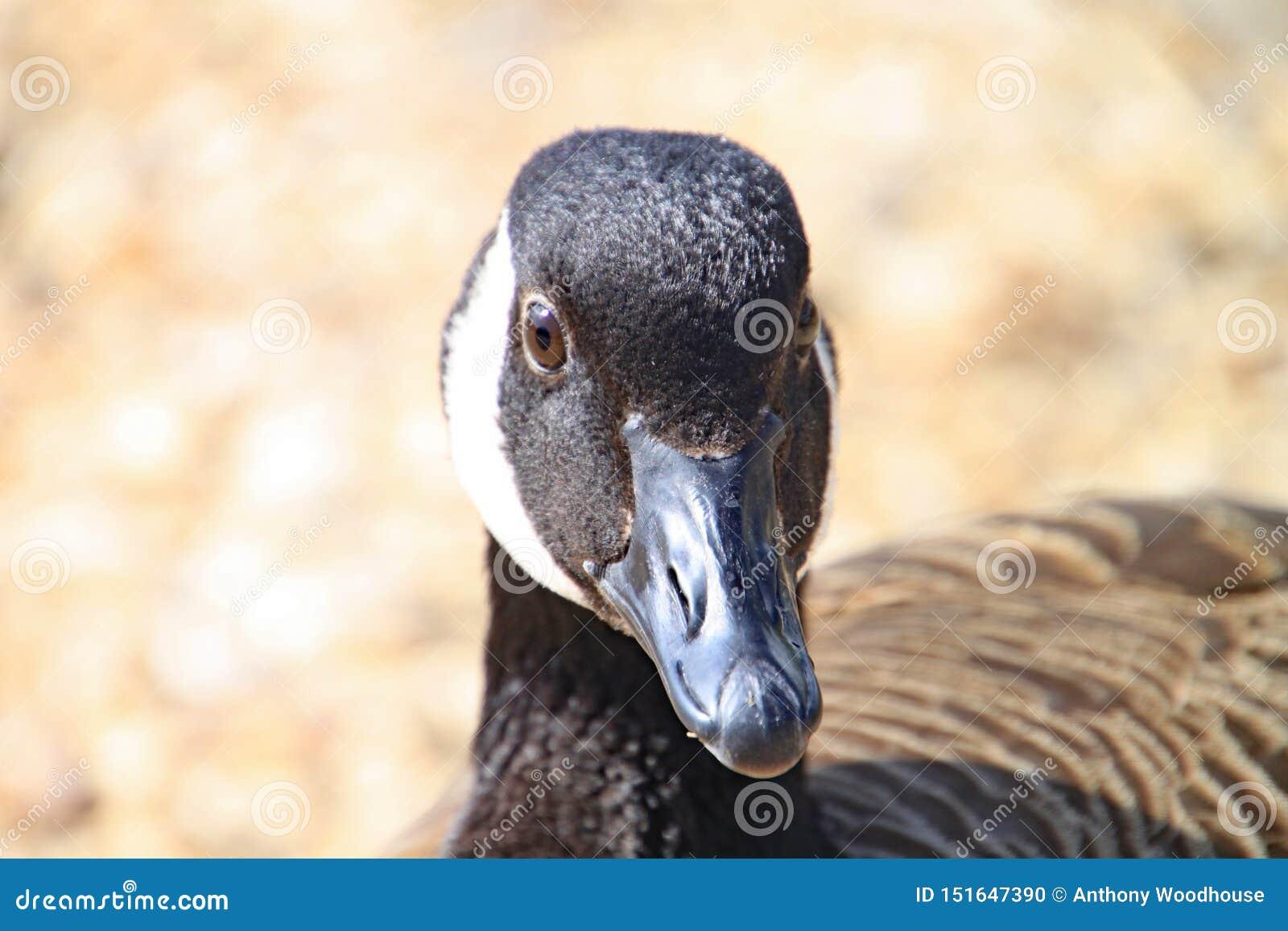 Stäng sig upp av det svartvita huvudet av en and