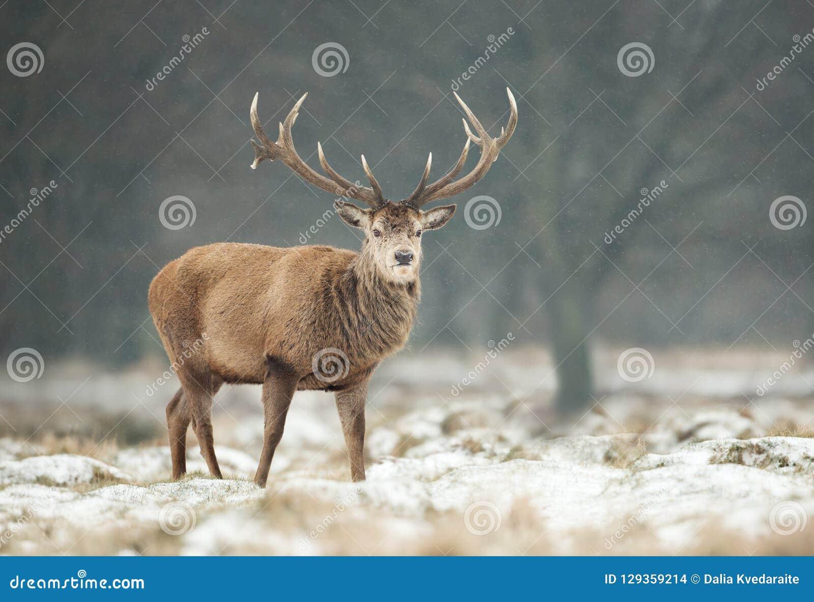 Stäng sig upp av en fullvuxen hankronhjort för röda hjortar i vinter