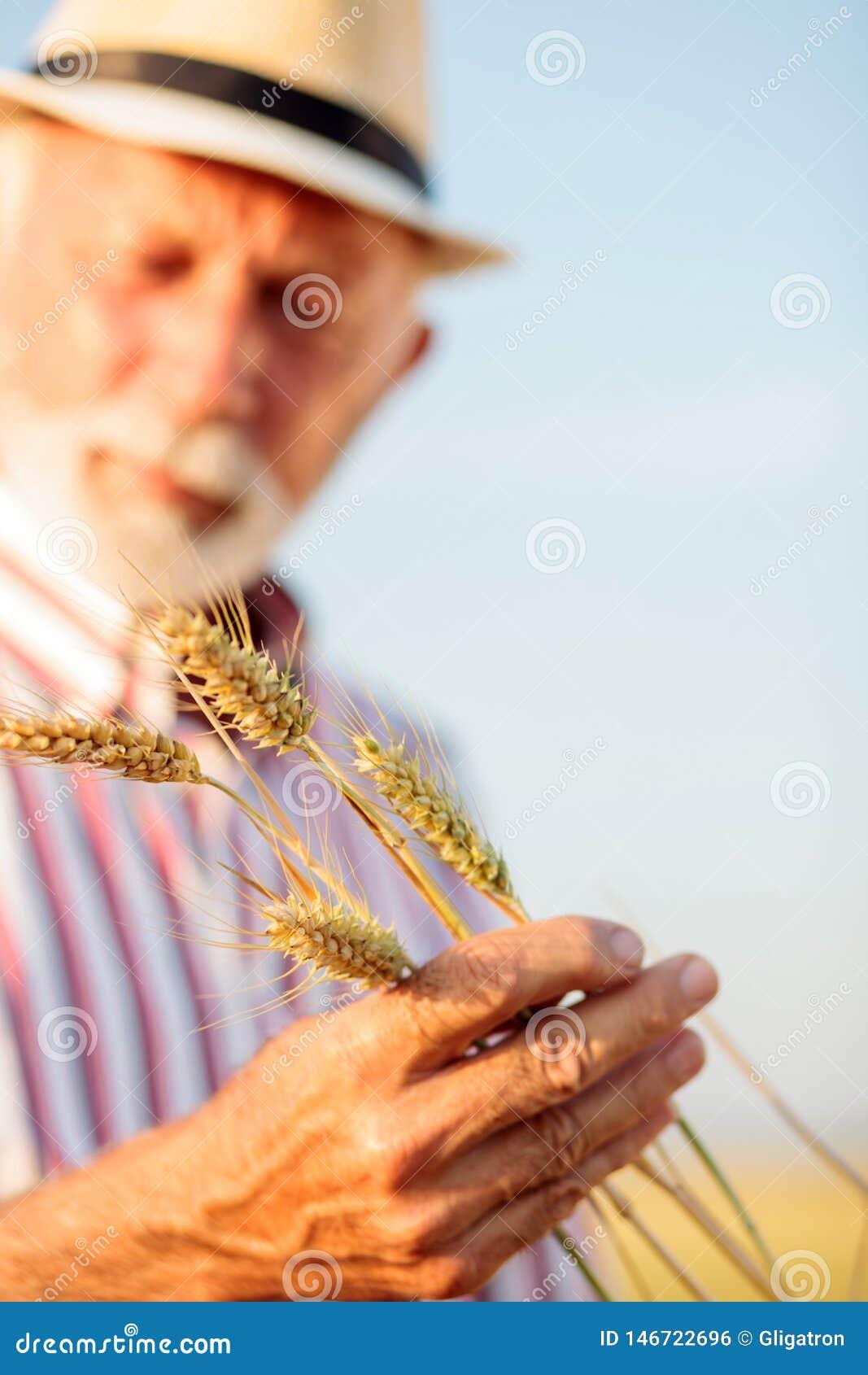 Stäng sig upp av en hög agronom eller rymmande och undersökande vetestammar för bonde