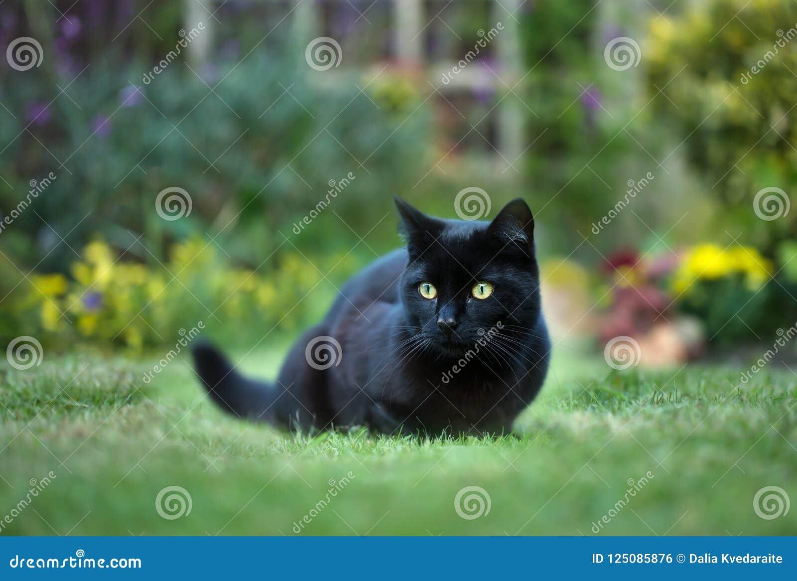 Stäng sig upp av en svart katt på gräset i bakgården