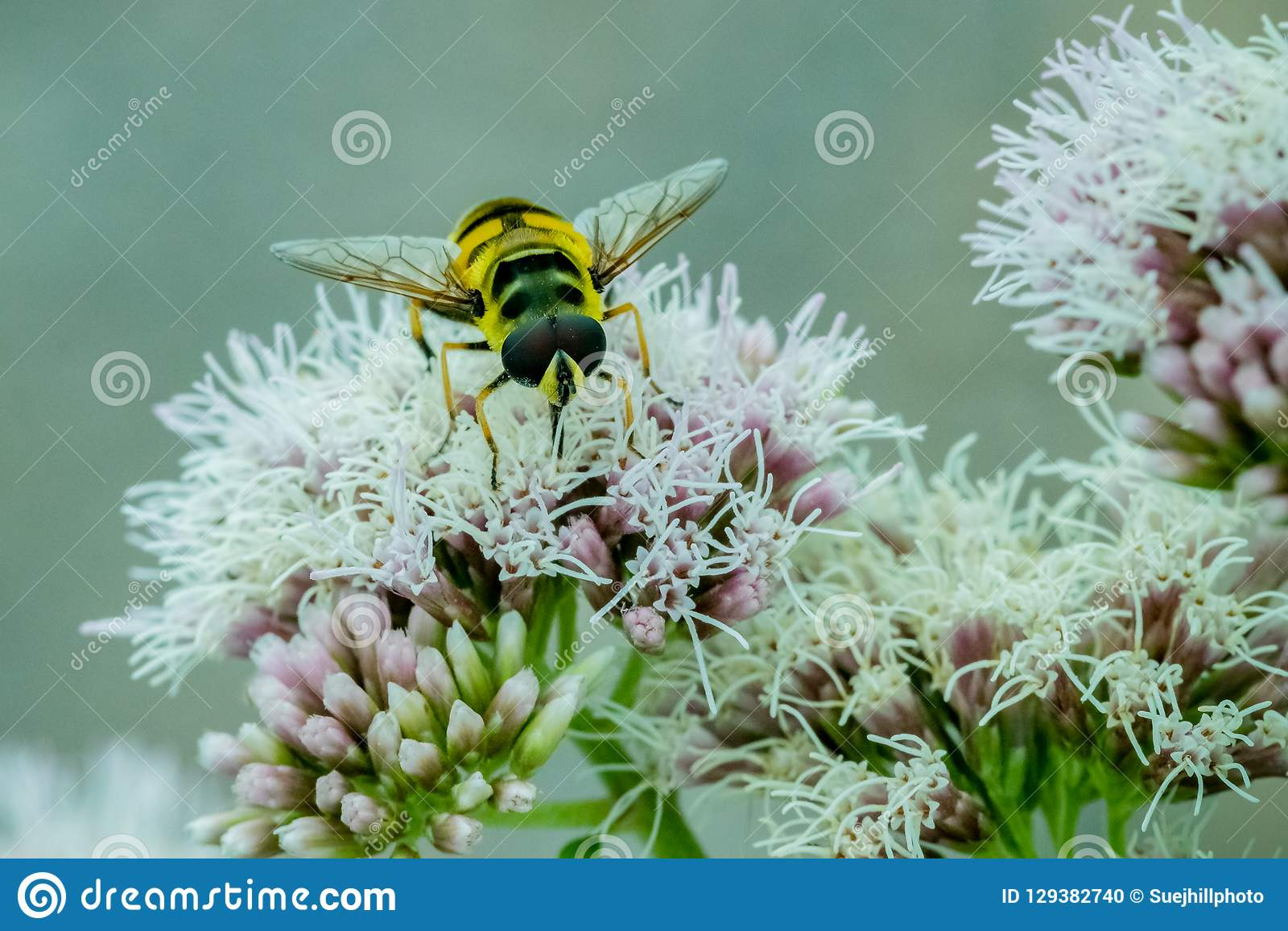Stäng sig upp av en svart och gulna Hoverfly som matar på nektar på vita blommor i trädgården