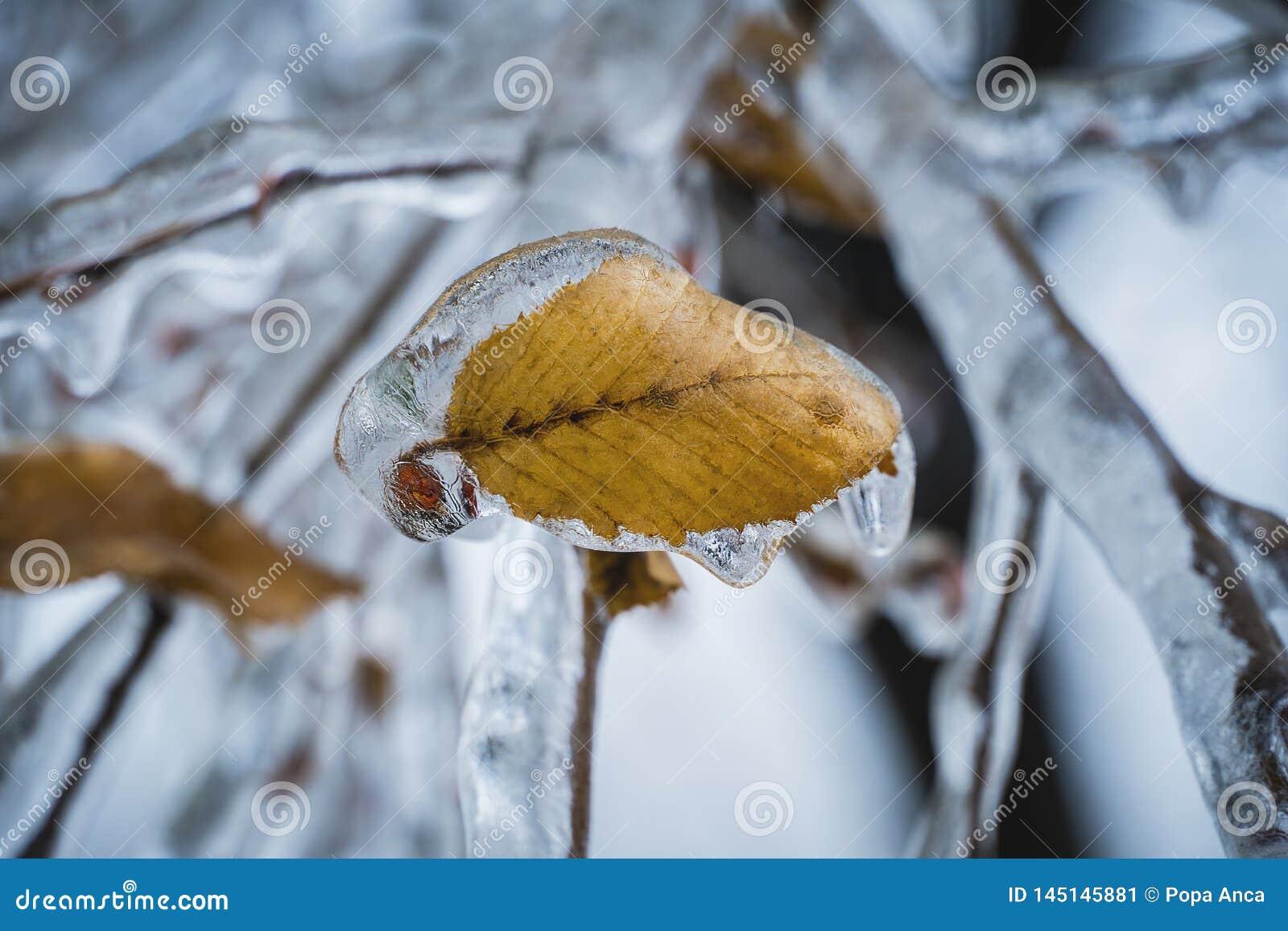 Stäng sig upp av ett härligt gult höstblad som bevaras i kristallklar is efter ett djupfryst regn