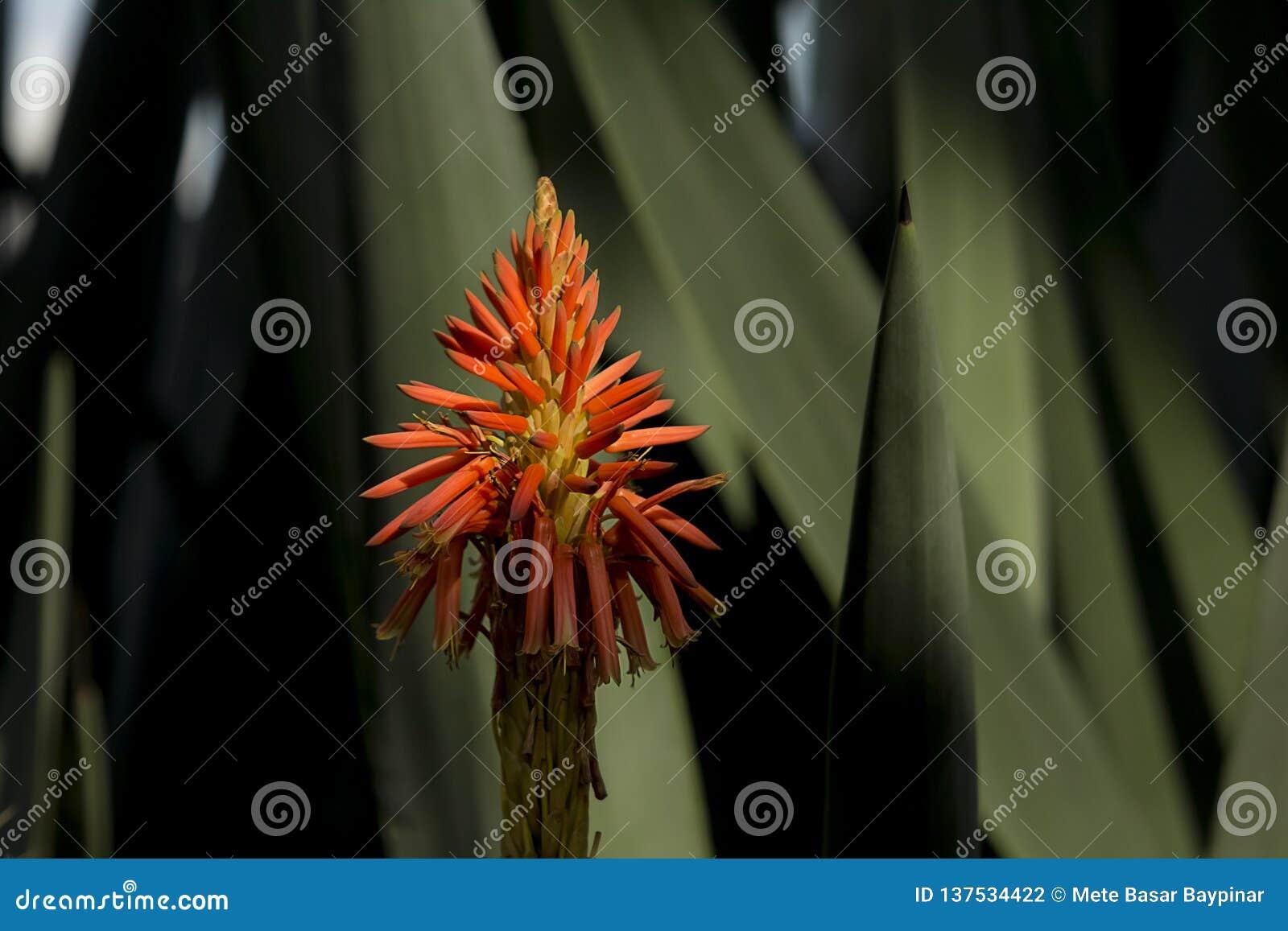 Stäng sig upp av huvudet för den aloeVera blomman med sidor i bakgrunden i en mörk inställning