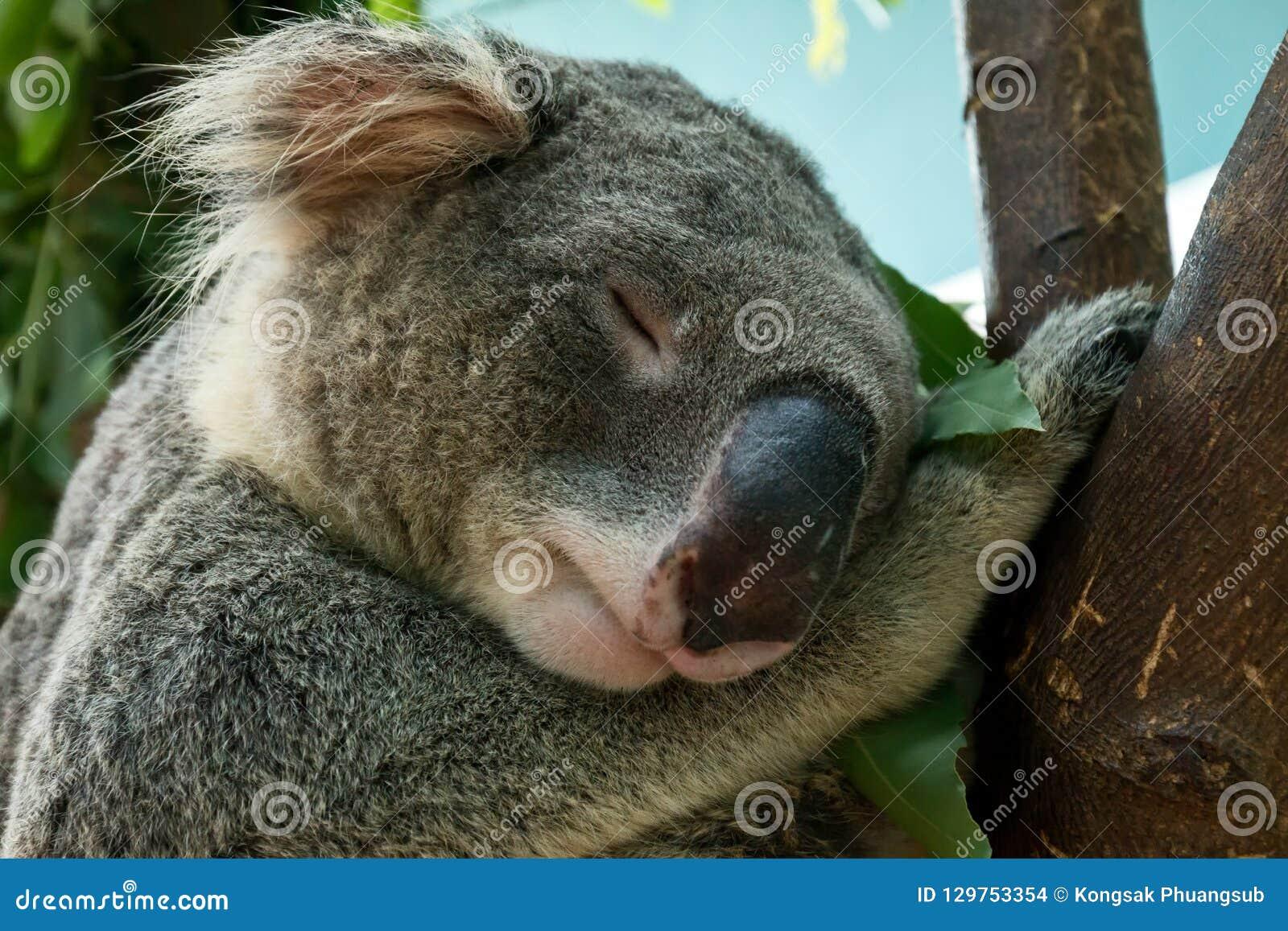 Stäng sig upp av koalahuvudskottet som sova