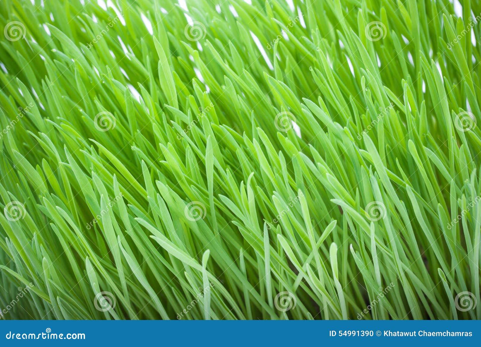 Stäng sig upp av nytt grönt gräs för katter