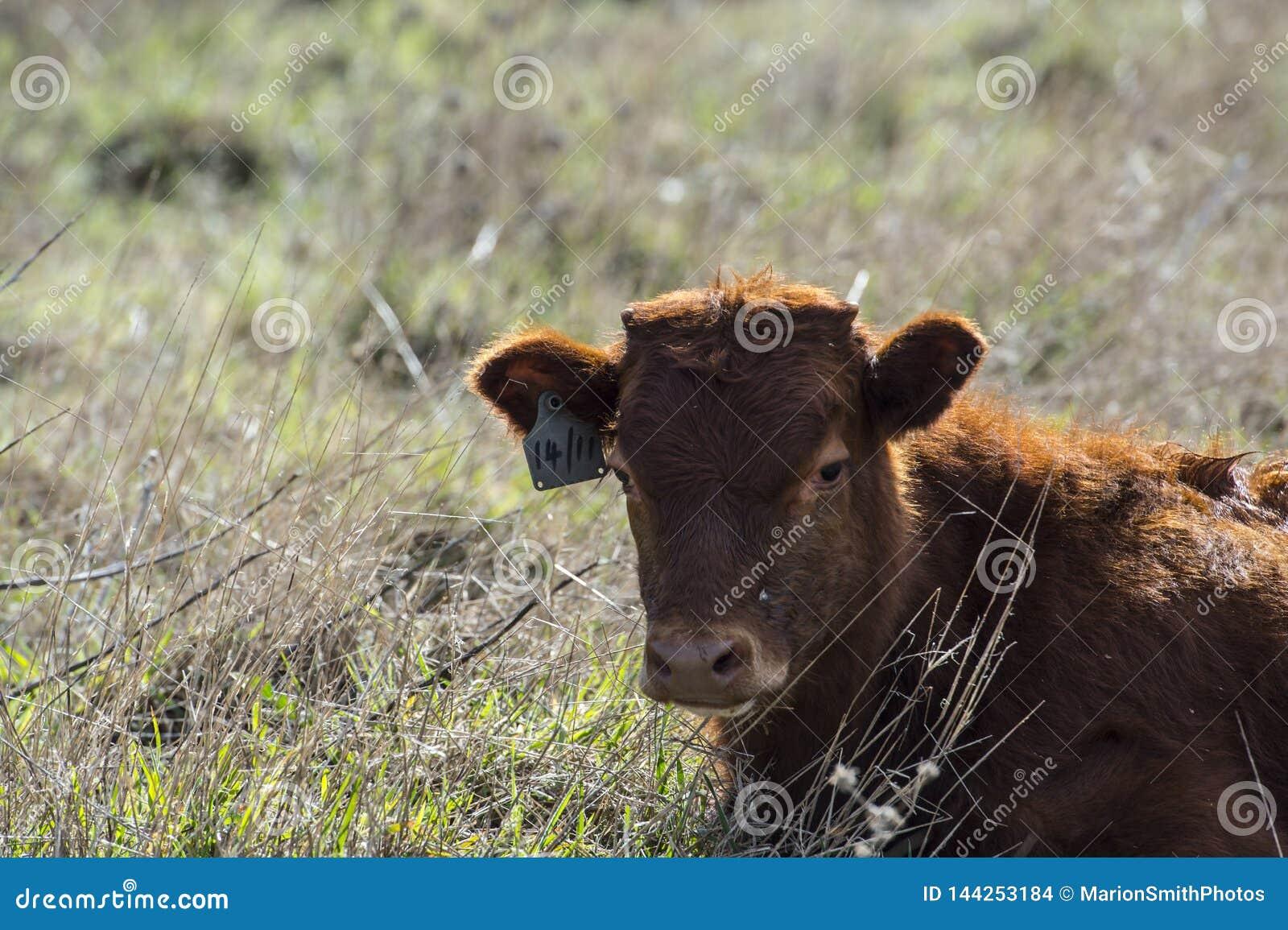 Stäng sig upp av röda Dexter Cow, betraktat en sällsynt avel som in sitter, betar