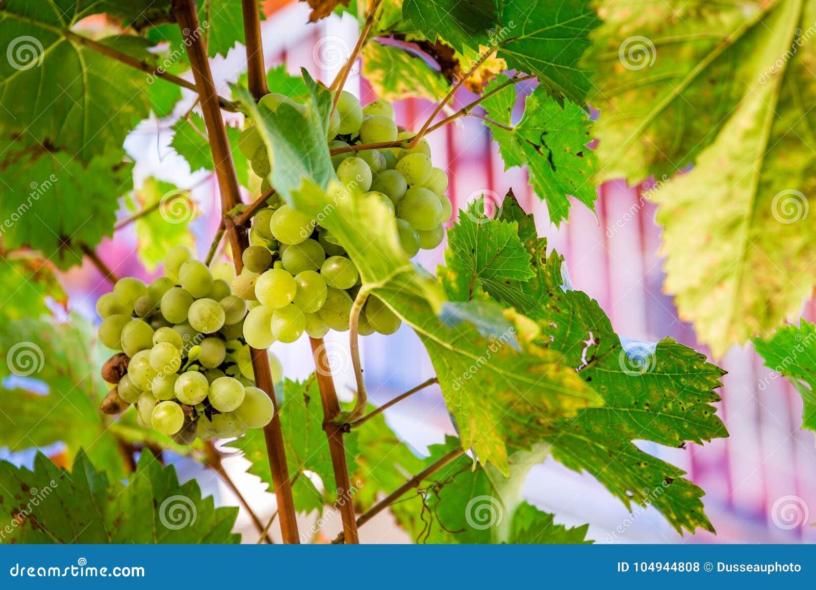 Stäng sig upp av vita druvor på en vinranka