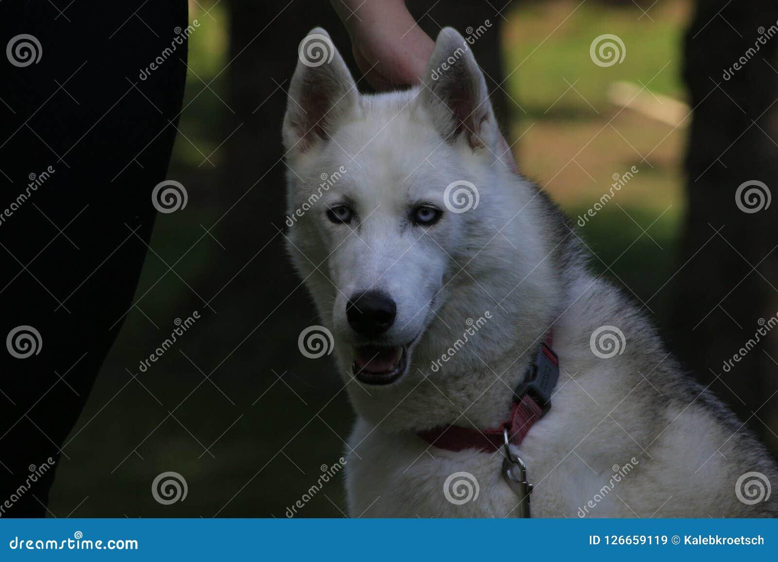Stäng sig upp den skrovliga härliga hunden, den magestic arktiska aveln