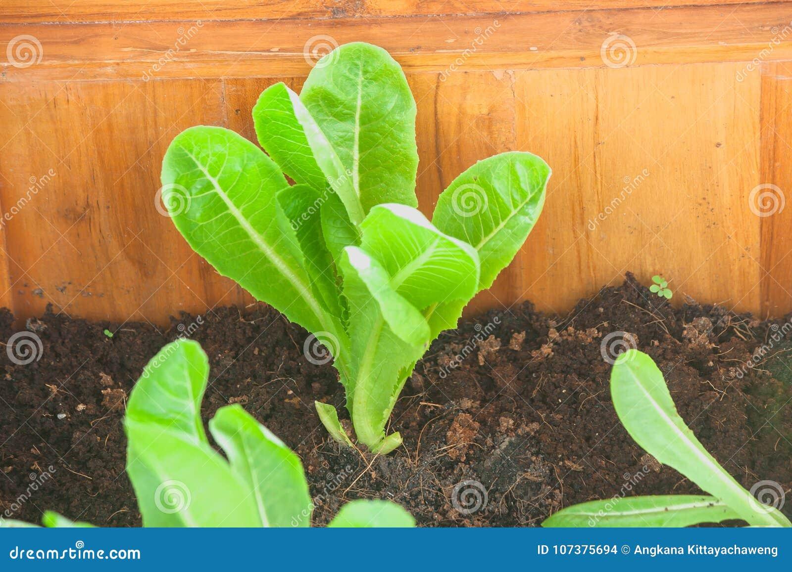 Stäng sig upp sikt av den gröna unga Cos Lettuce grönsaken i brun jord på den utomhus- trädgården