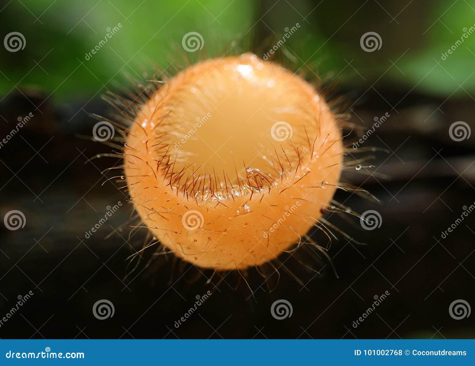 Stängt upp svampar för en ögonfranskopp som växer på murken inloggning regnskogen