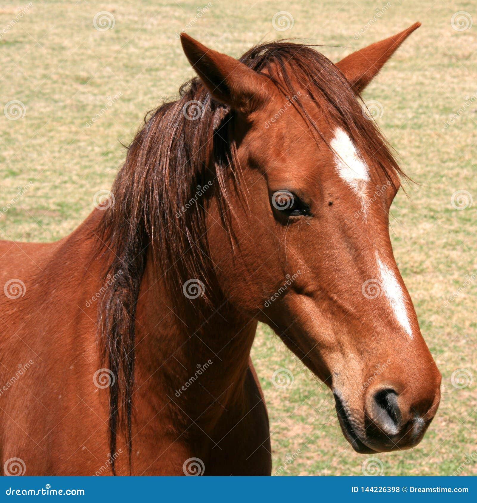 Stående av den bruna hästen med vit framsidateckning