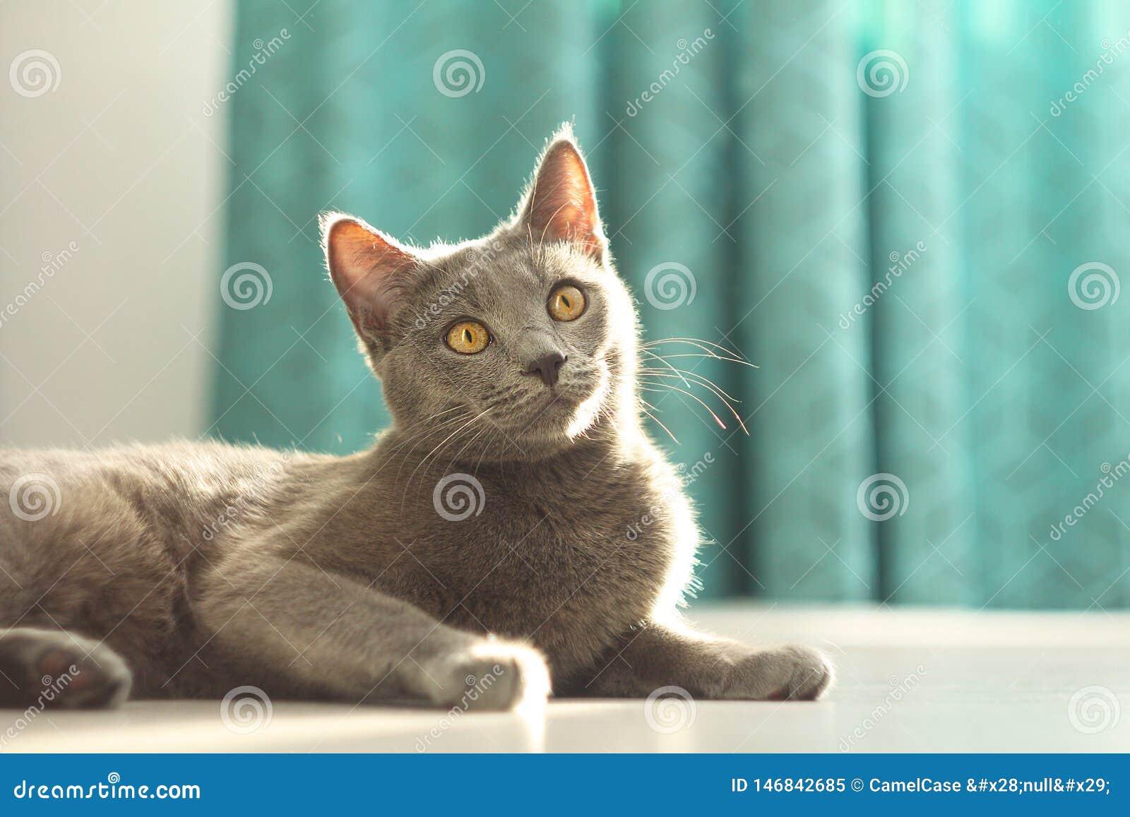 Stående av den förtjusande gulliga fluffiga gråa katten som luying på golvet på hemtrevlig hem- bakgrund bl? kattryss Inhemskt li