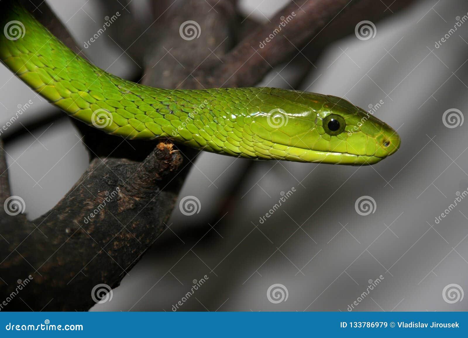 Stående av den gröna mambaen, Dendroaspisviridis