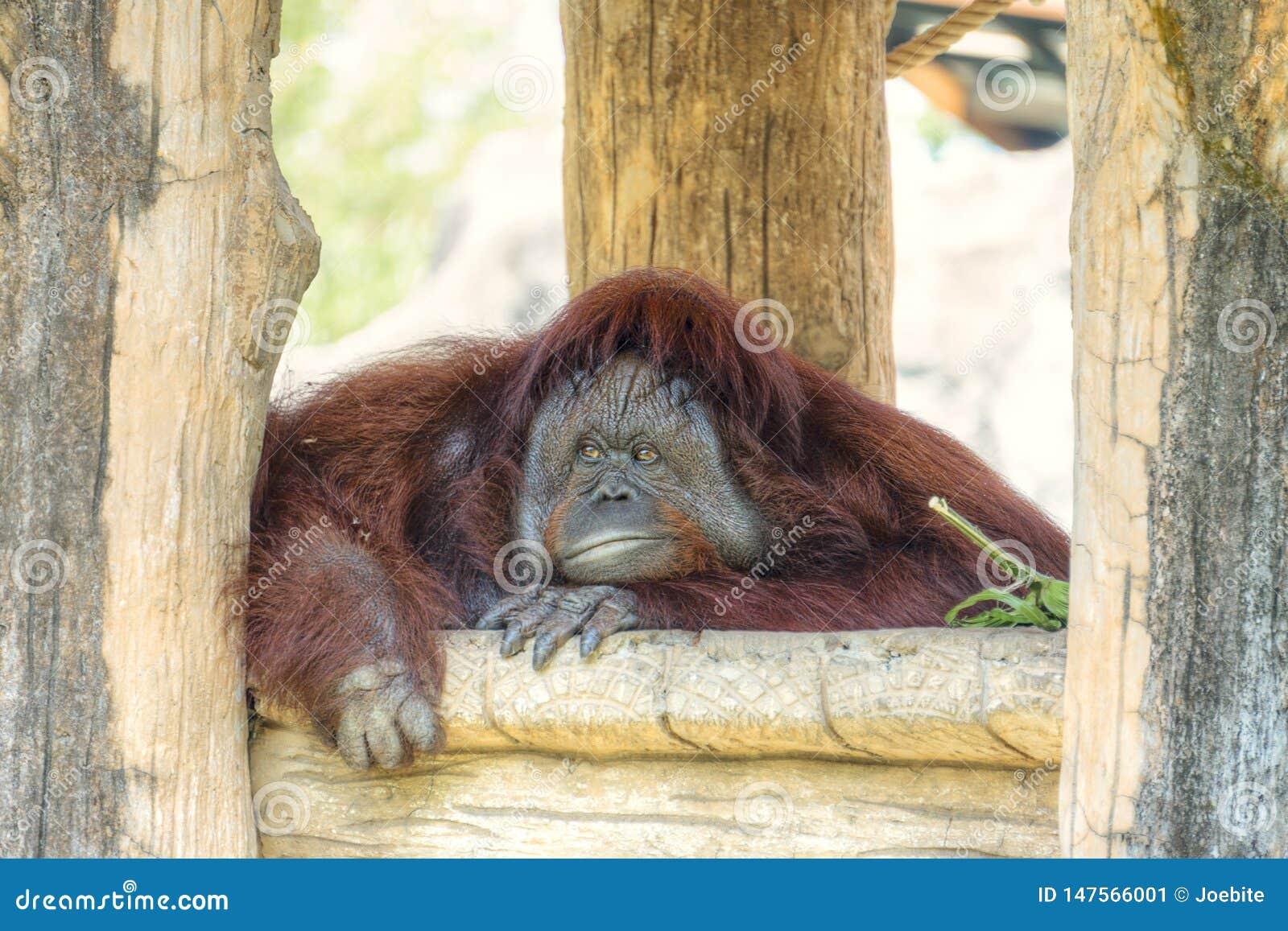 Stående av den gulliga stora orangutanget som ser till kameran och att borra Den lösa bruna röda apan, orangutang som finnas i dj