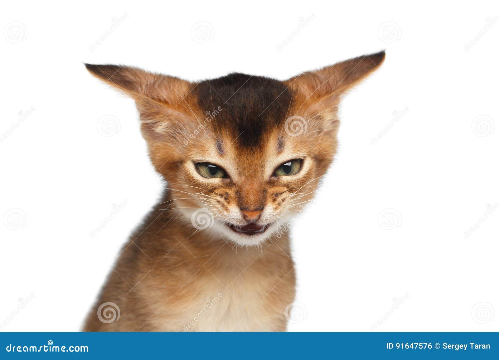 Stående av den ilskna kattungen på isolerad vit bakgrund