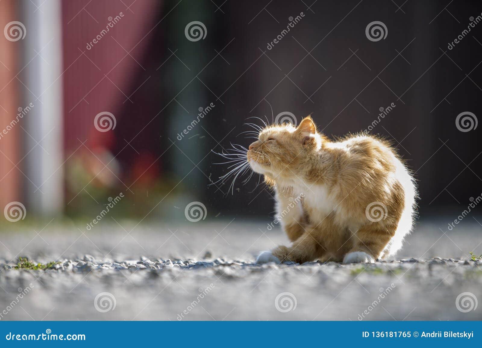 Stående av den orange unga stora katten för gullig förtjusande ingefära med guld- gula ögon som utomhus sitter på små kiselstenar