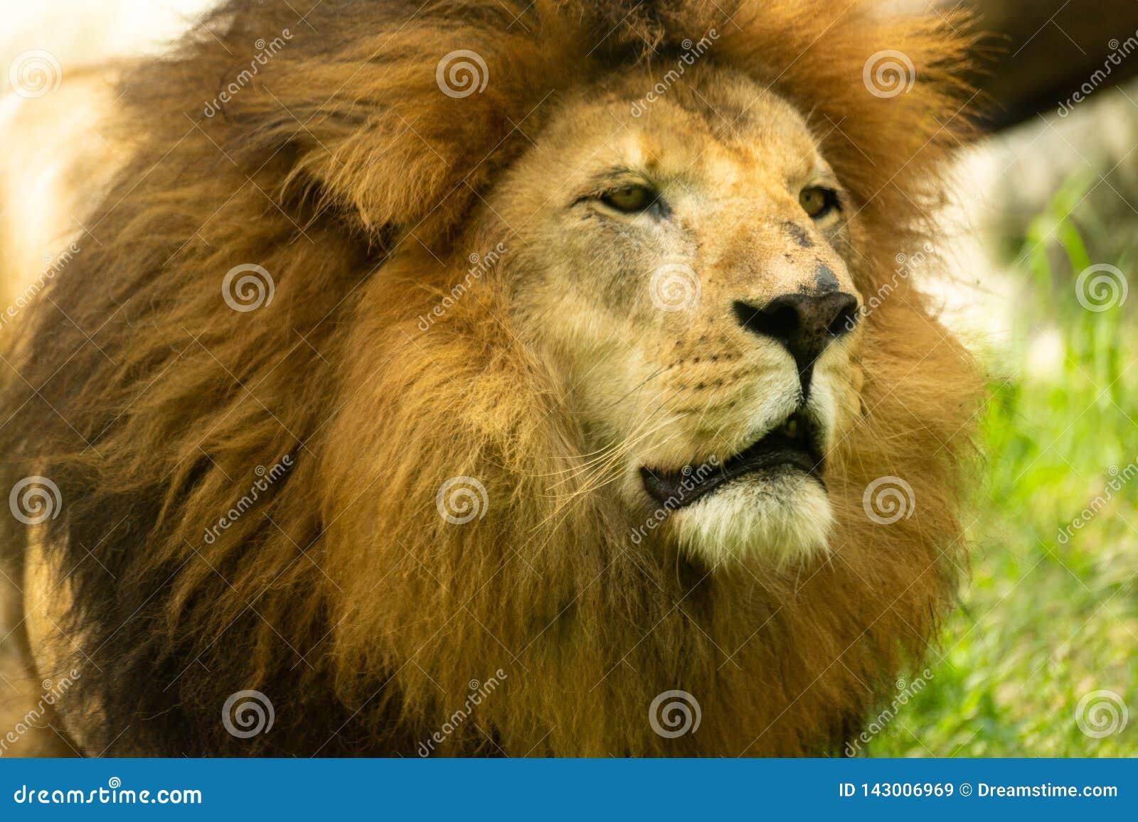 Stående av det lösa mogna lejonet