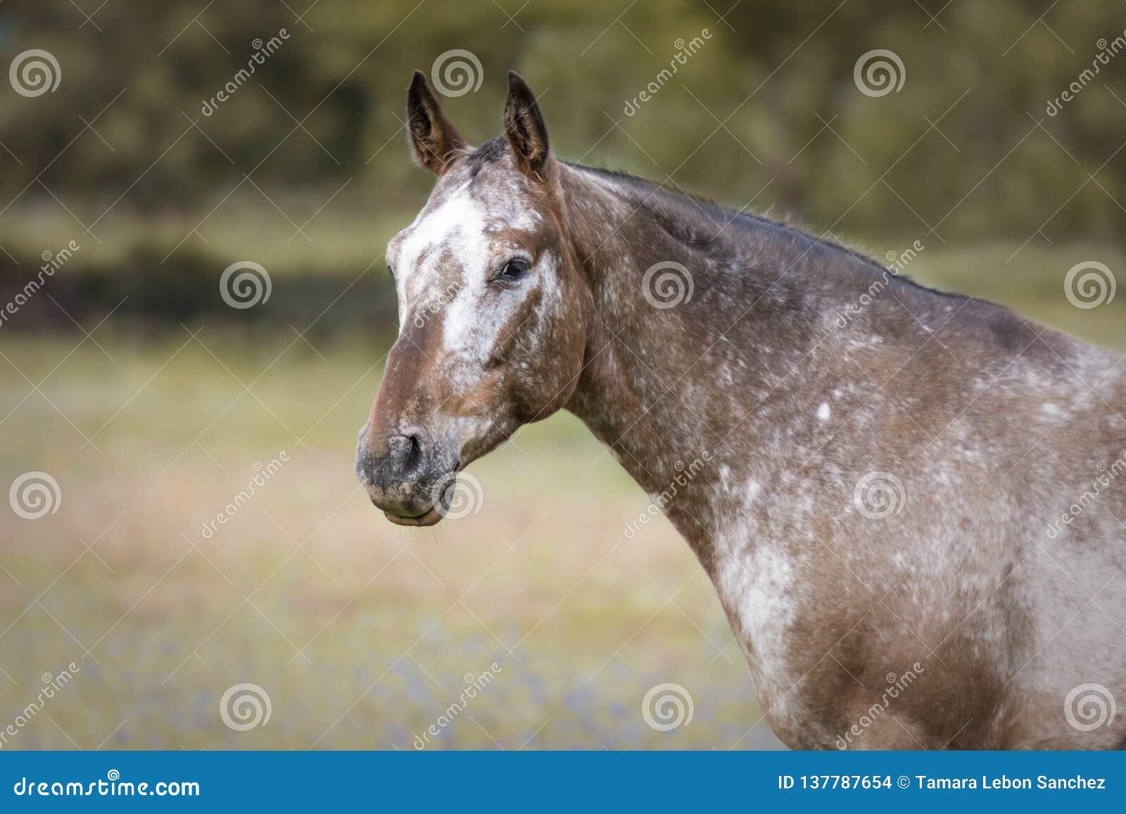 Stående av en Appaloosahäst
