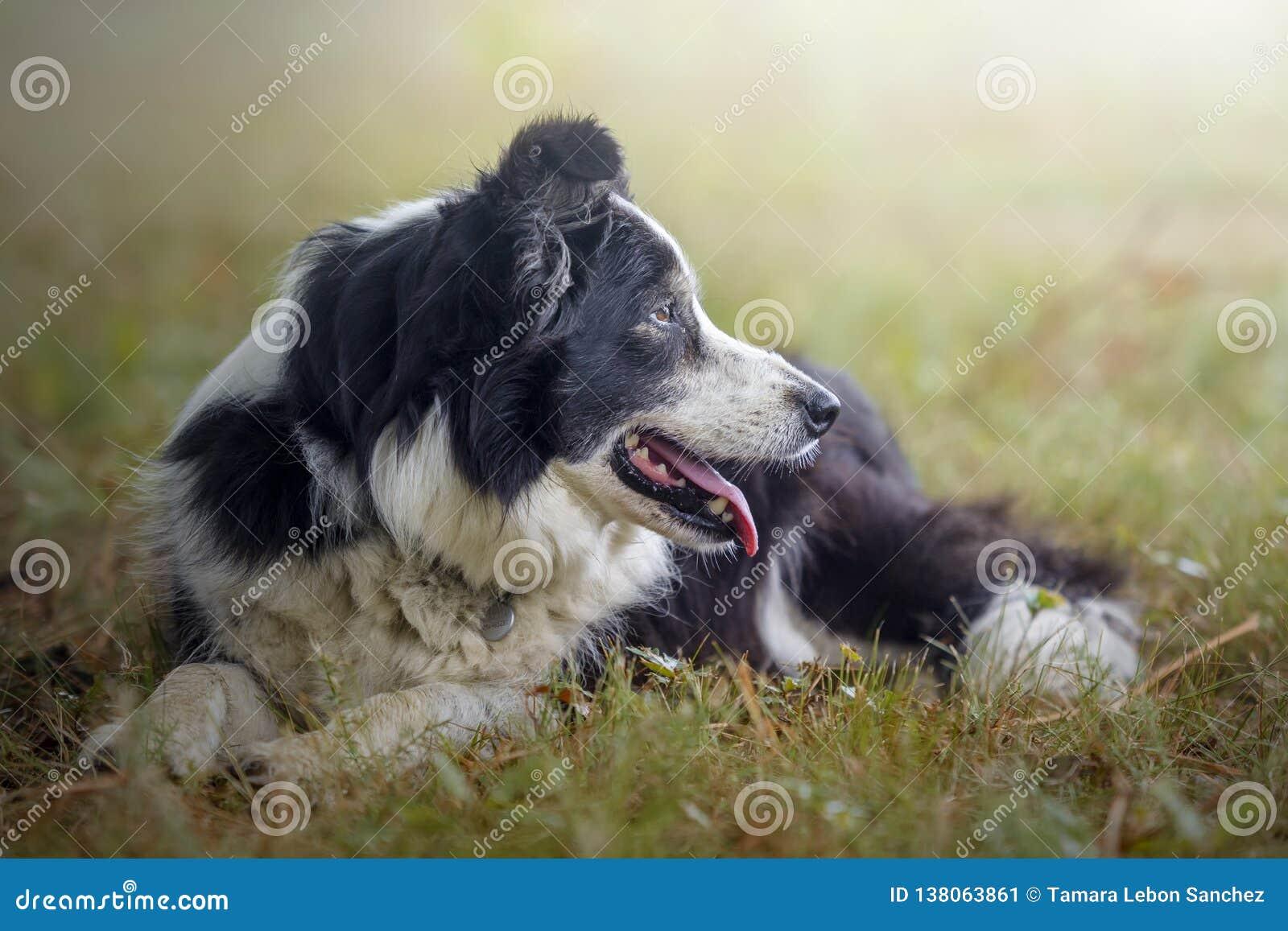 Stående av en border collie hund