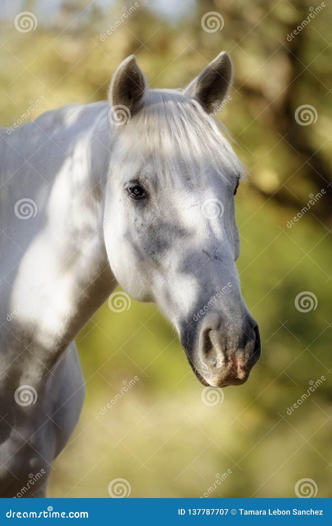 Stående av en härlig vit häst