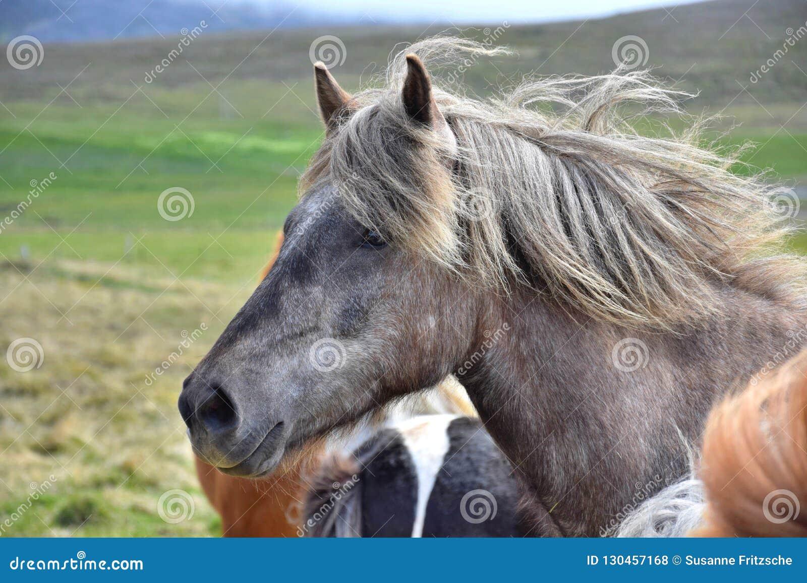 Stående av en isländsk häst Dapple grått Annat hästar och landskap i bakgrunden