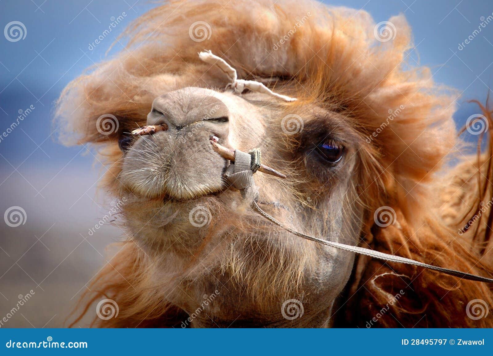 Stående av en mongolisk kamel
