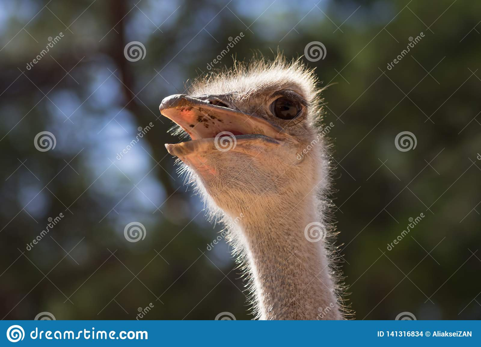 Stående av en Ostrich
