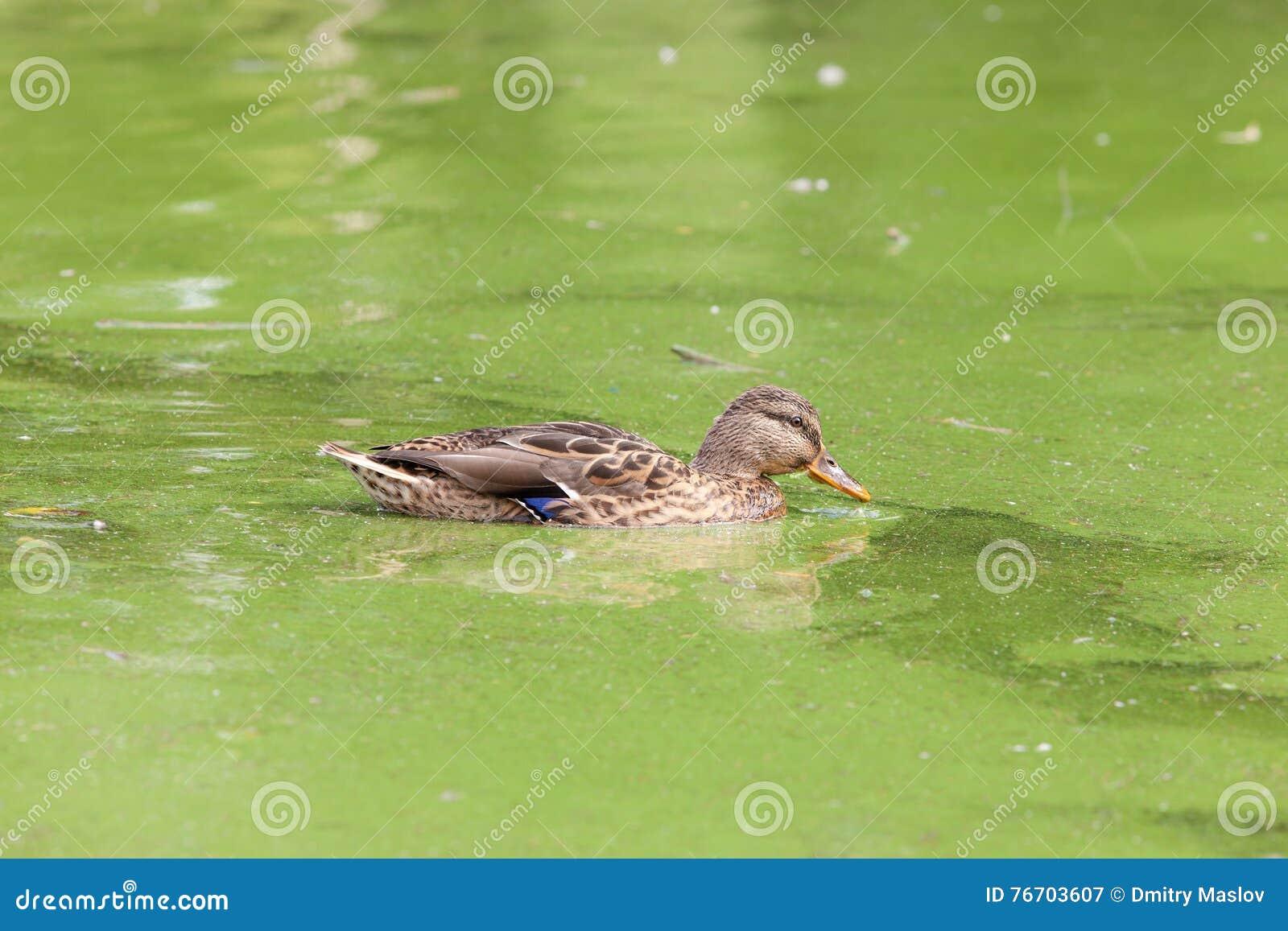 Stående av en simningand