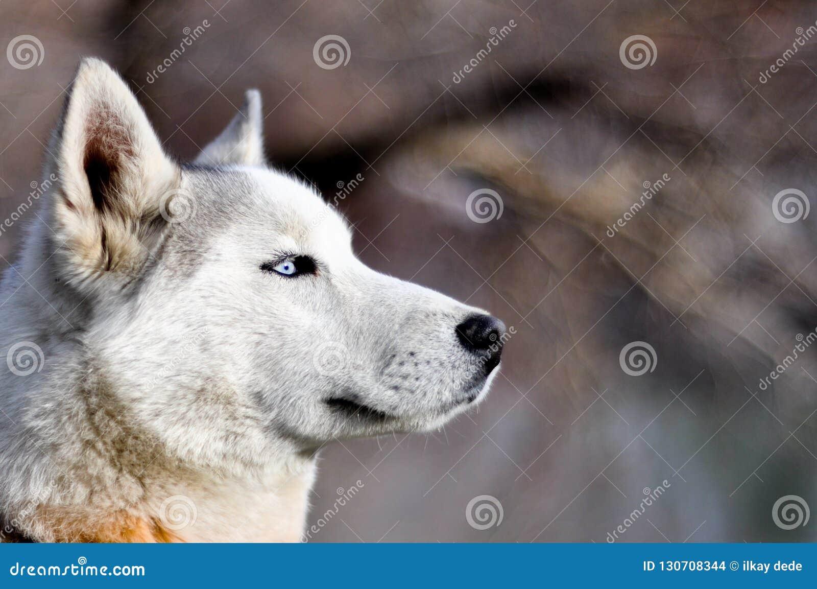 Stående av en slädehund