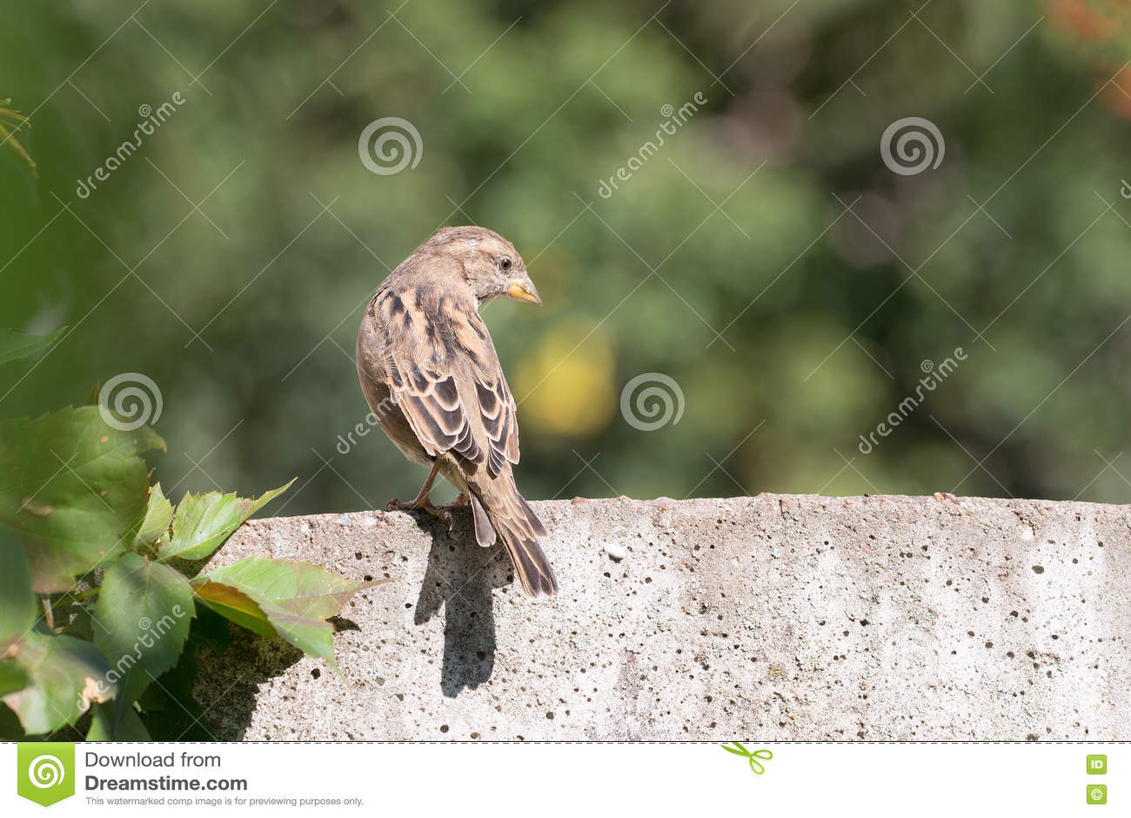 Stående av en sparrow