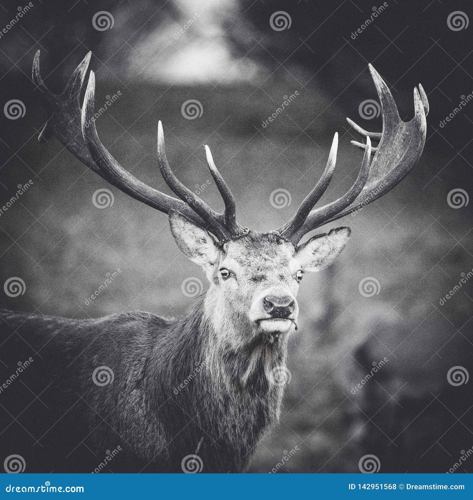 Stående av en svartvit hjort