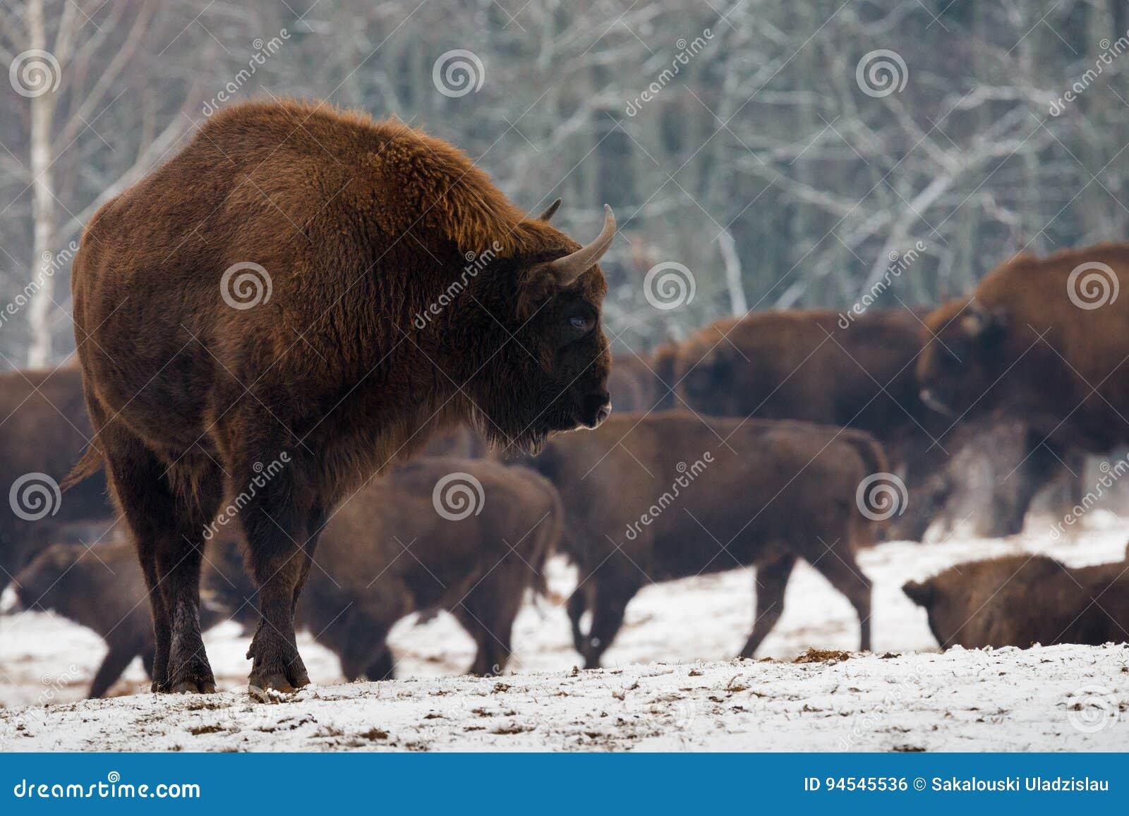 Stående av europén Bison Aurochs In Wild Nature Kraftig vuxen europé Bison Close-Up On The Background av flocken i vinter