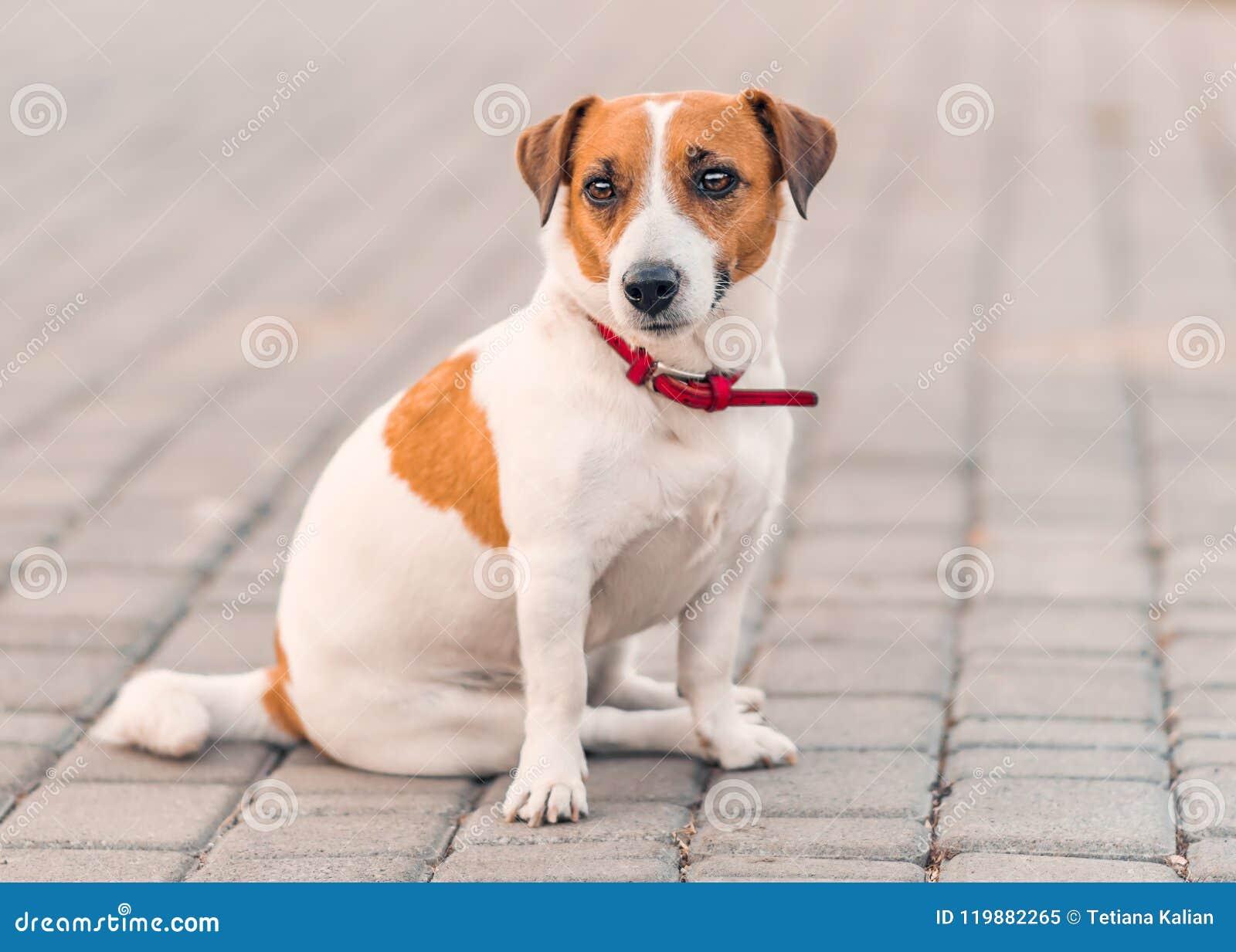 Stående av gulligt litet sammanträde för hundstålarrussel terrier utanför på den gråa förberedande tjock skiva på sommardagen Fra