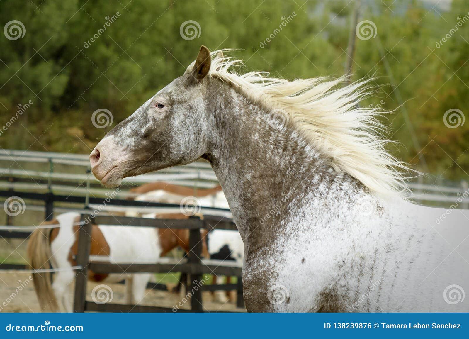 Stående av härligt nyfiket kulört galoppera för häst