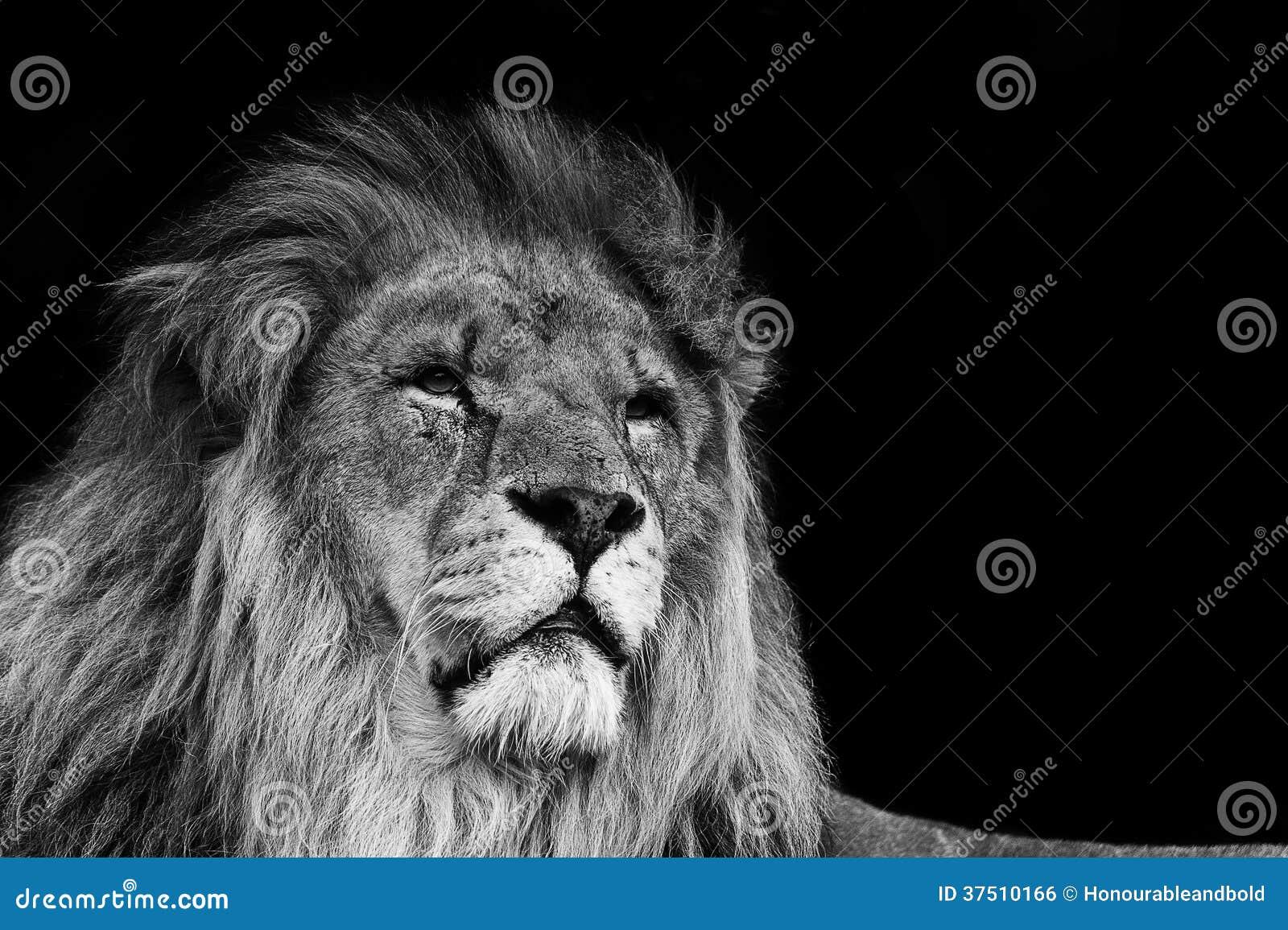 Stående av lejonet i svartvitt